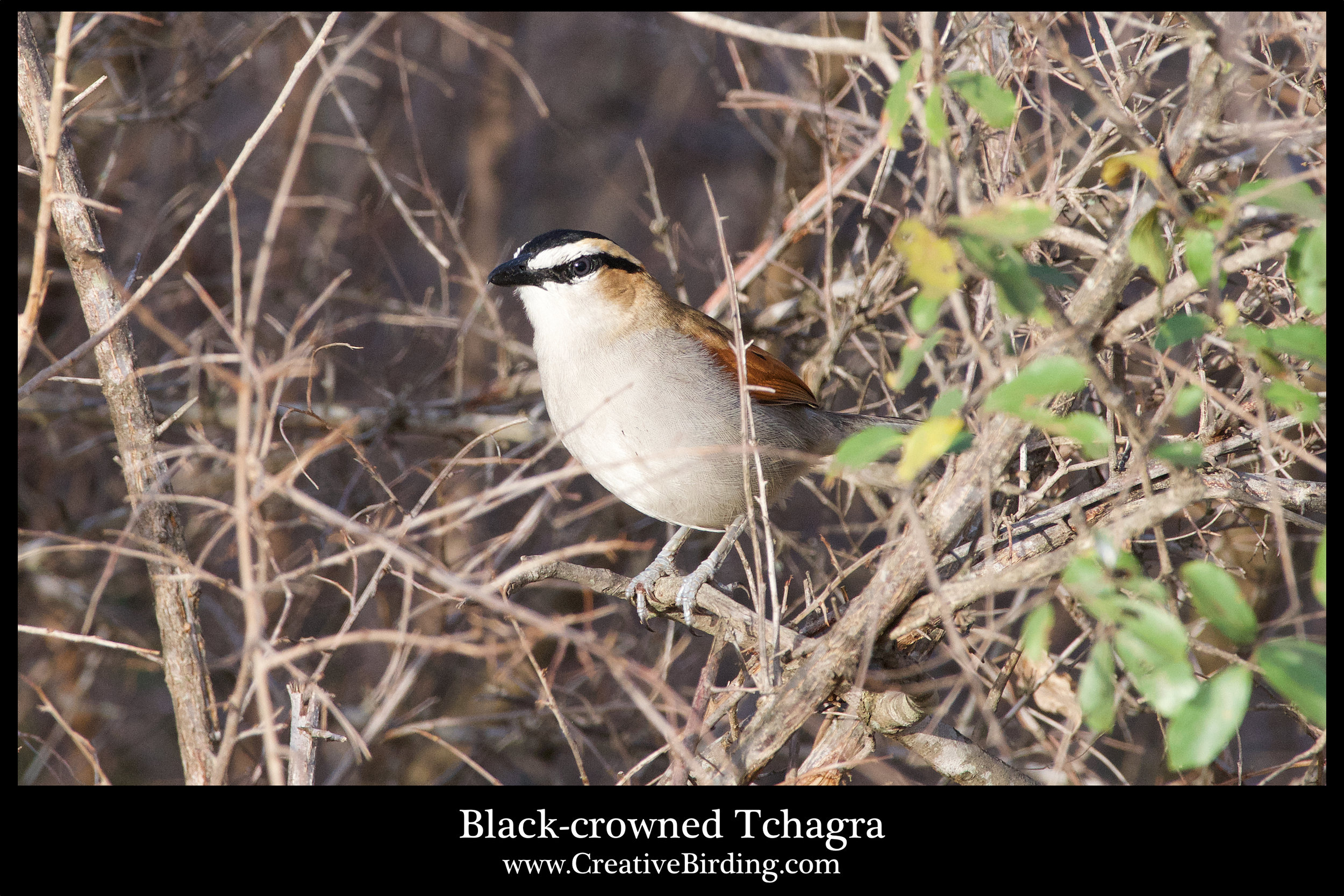 Black-crowned Tchagra.jpg