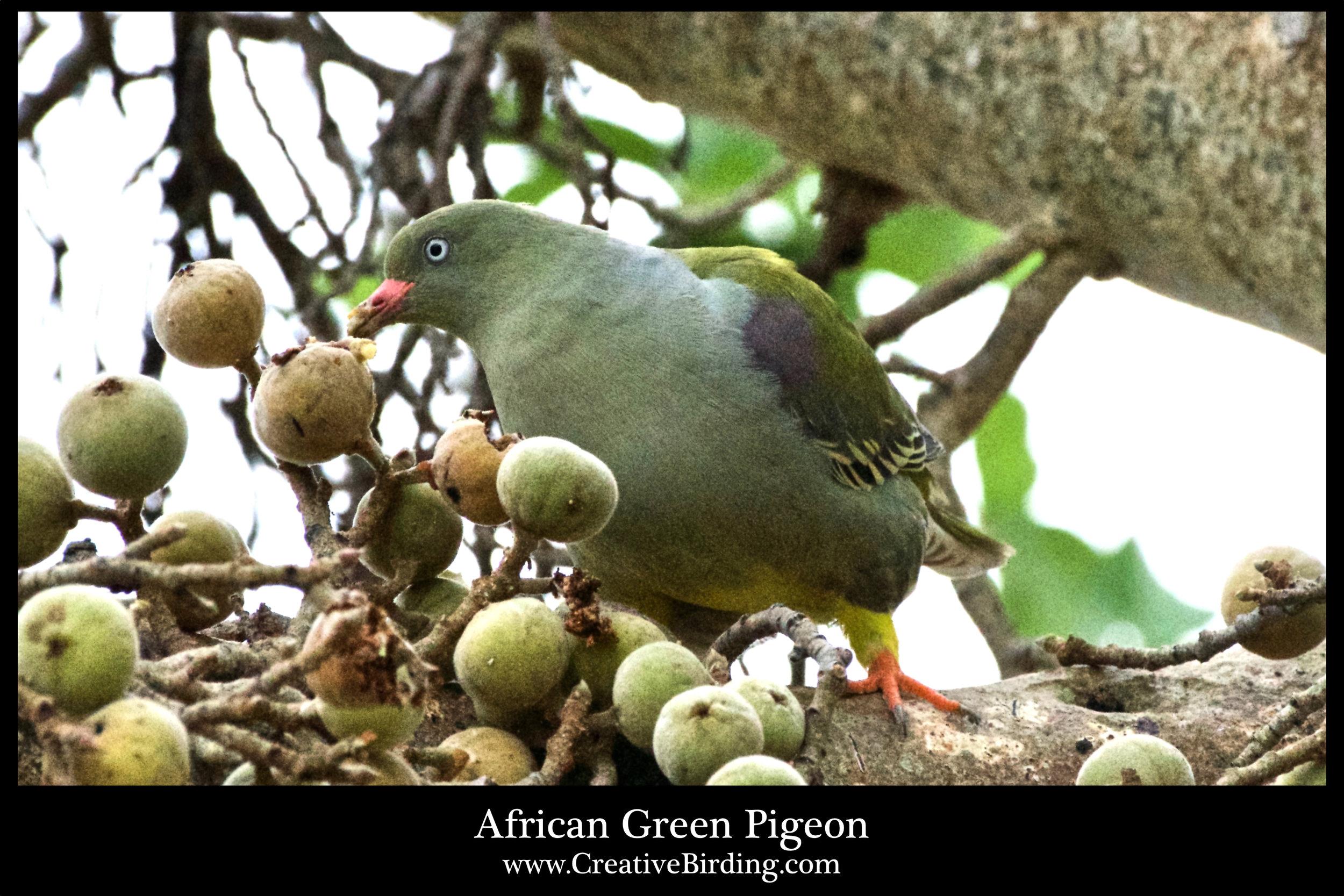 African Green Pigeon2.jpg