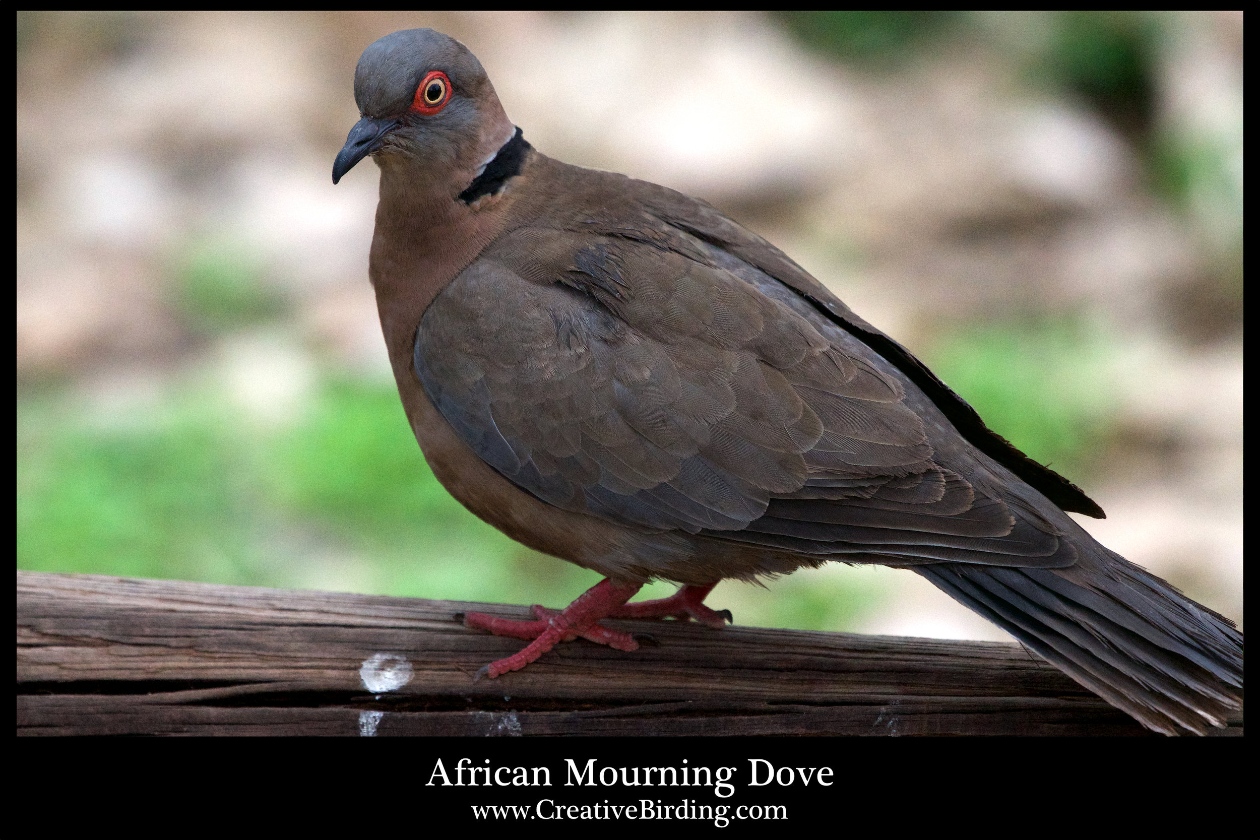 African Mourning Dove.jpg