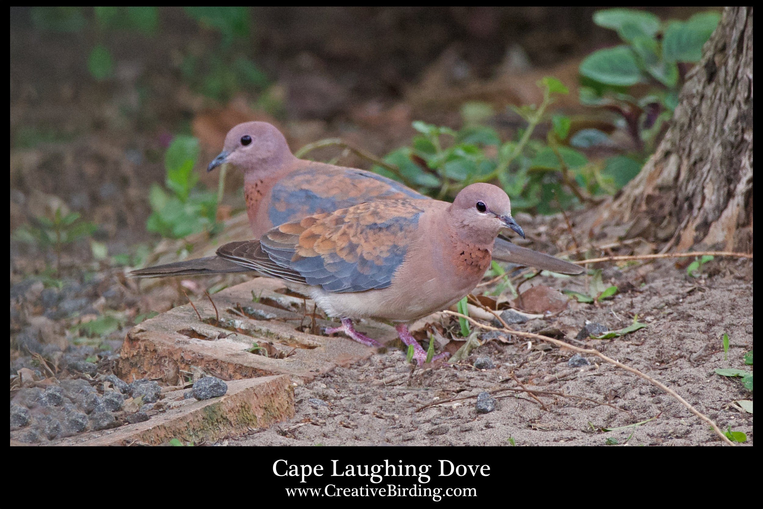 Cape Laughing Dove.jpg