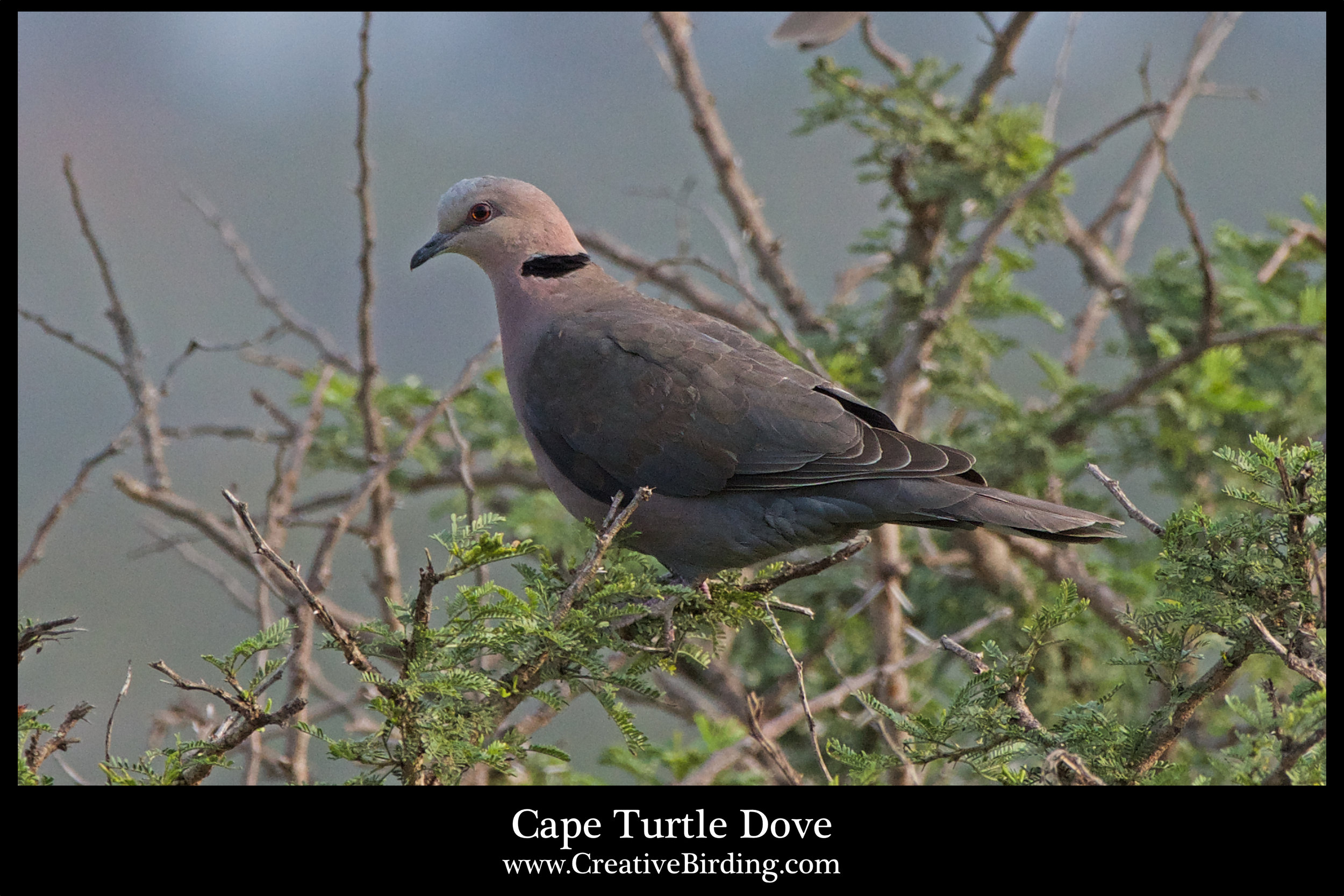 Cape Turtle Dove.jpg