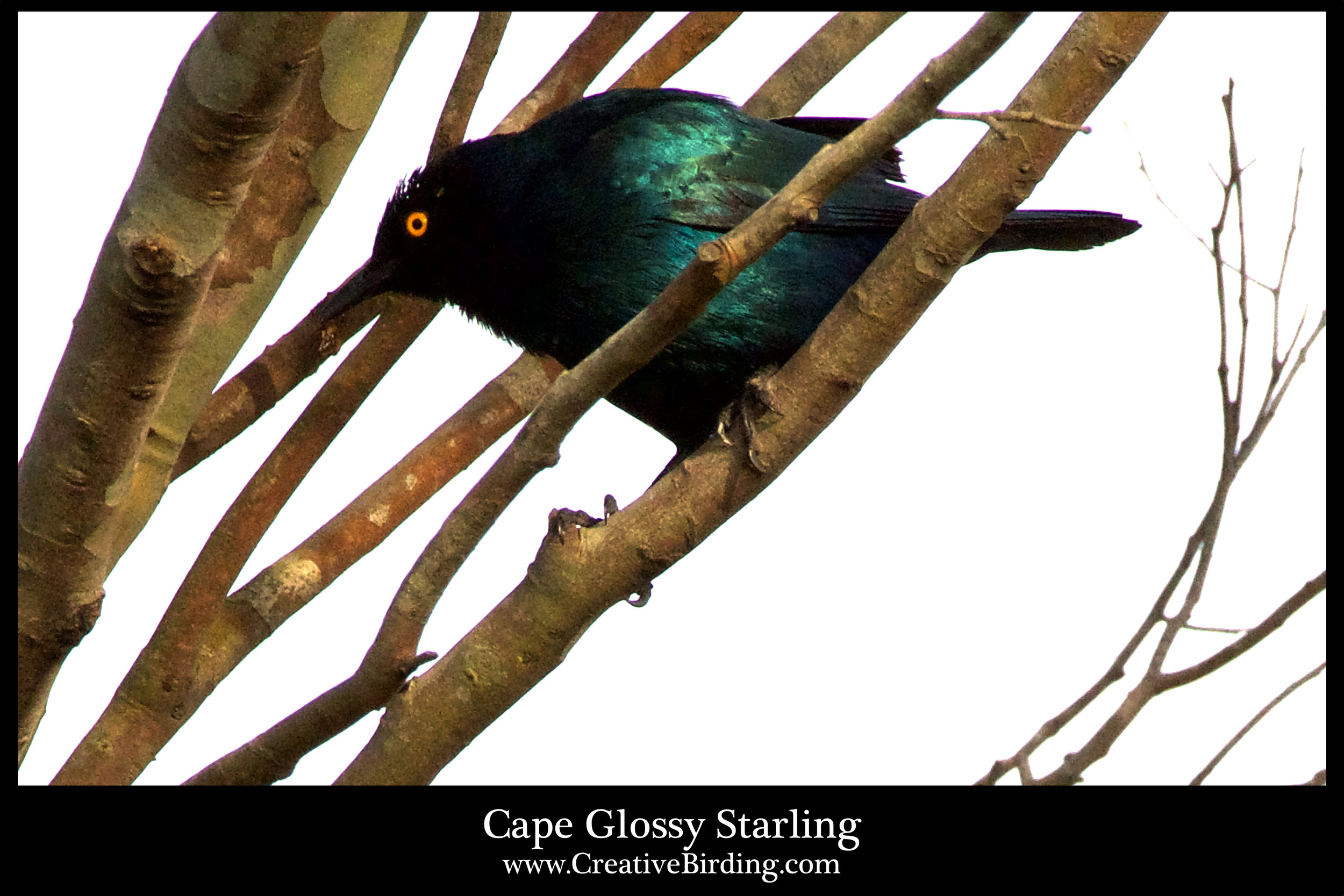 Cape Glossy Starling.jpg