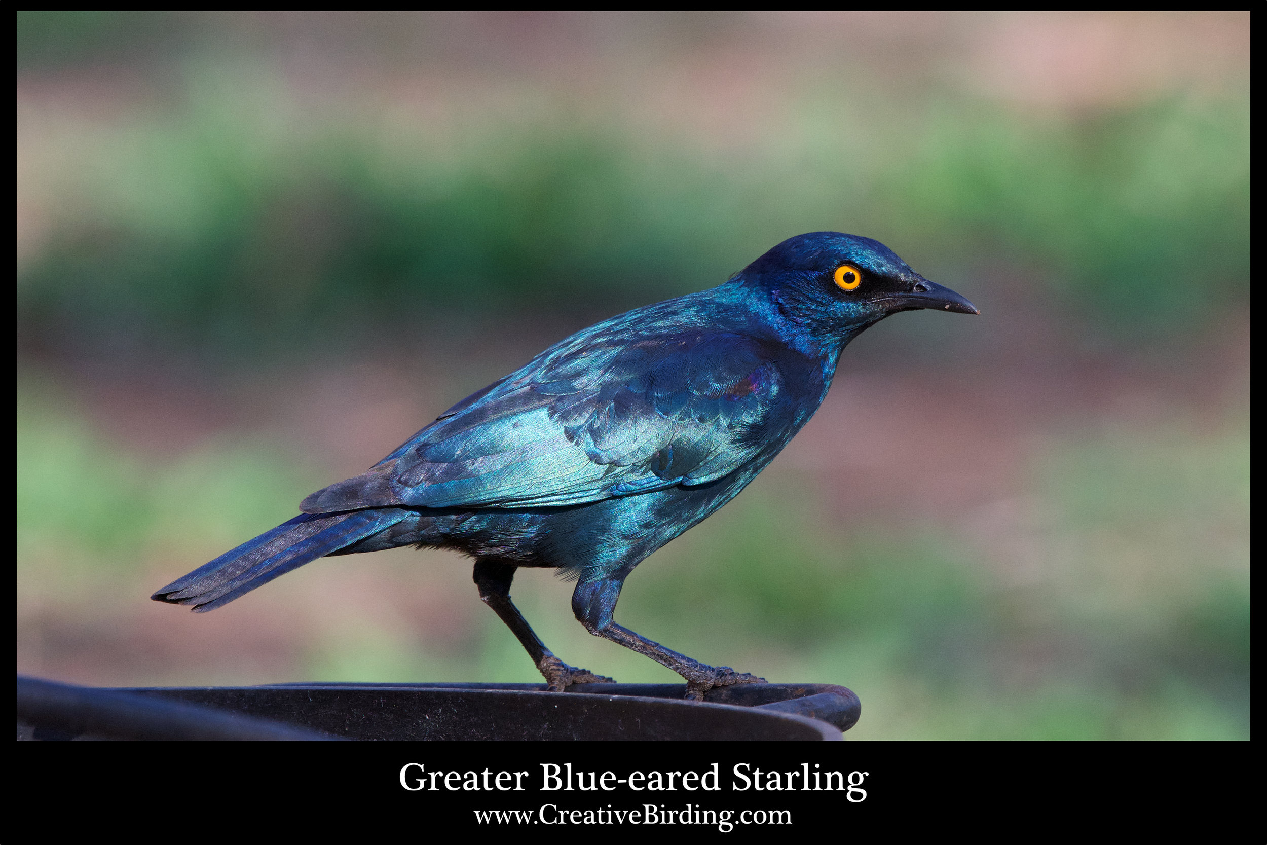 Greater Blue-eared Starling2.jpg