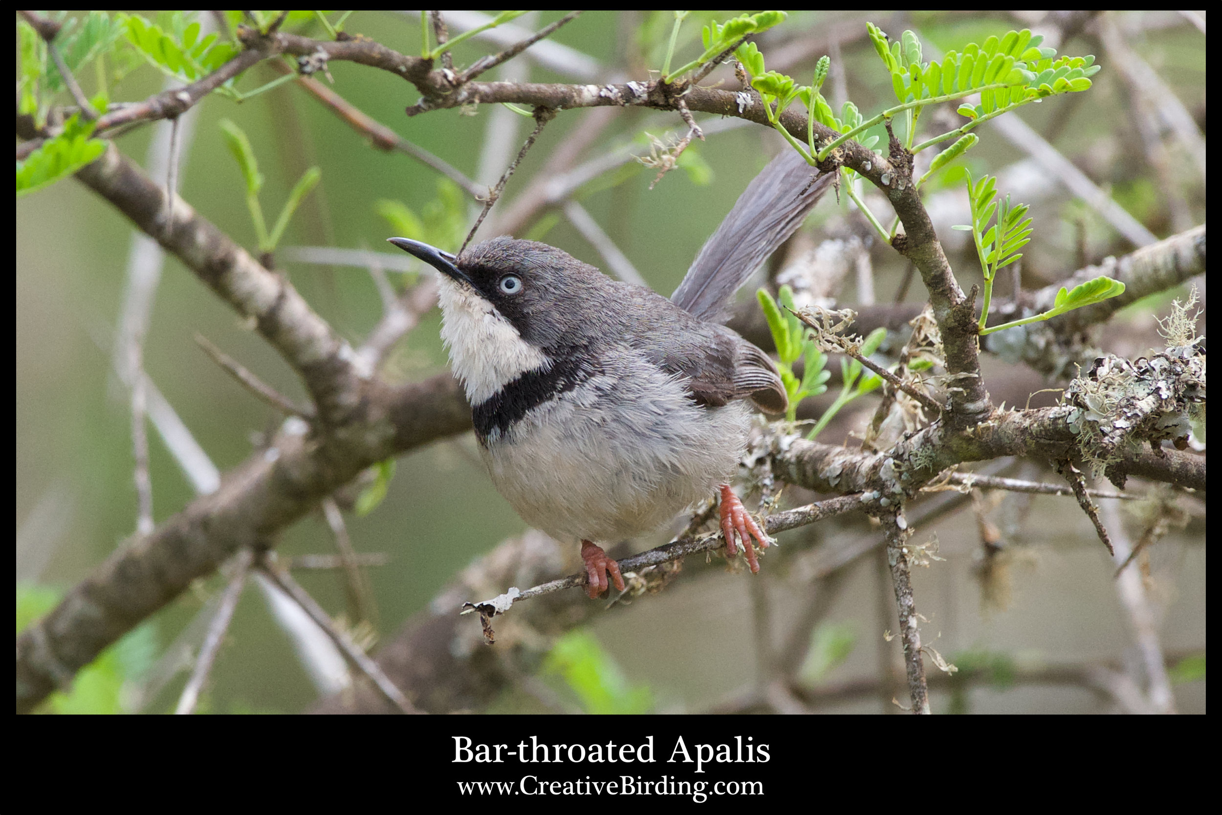Bar-throated Apalis.jpg