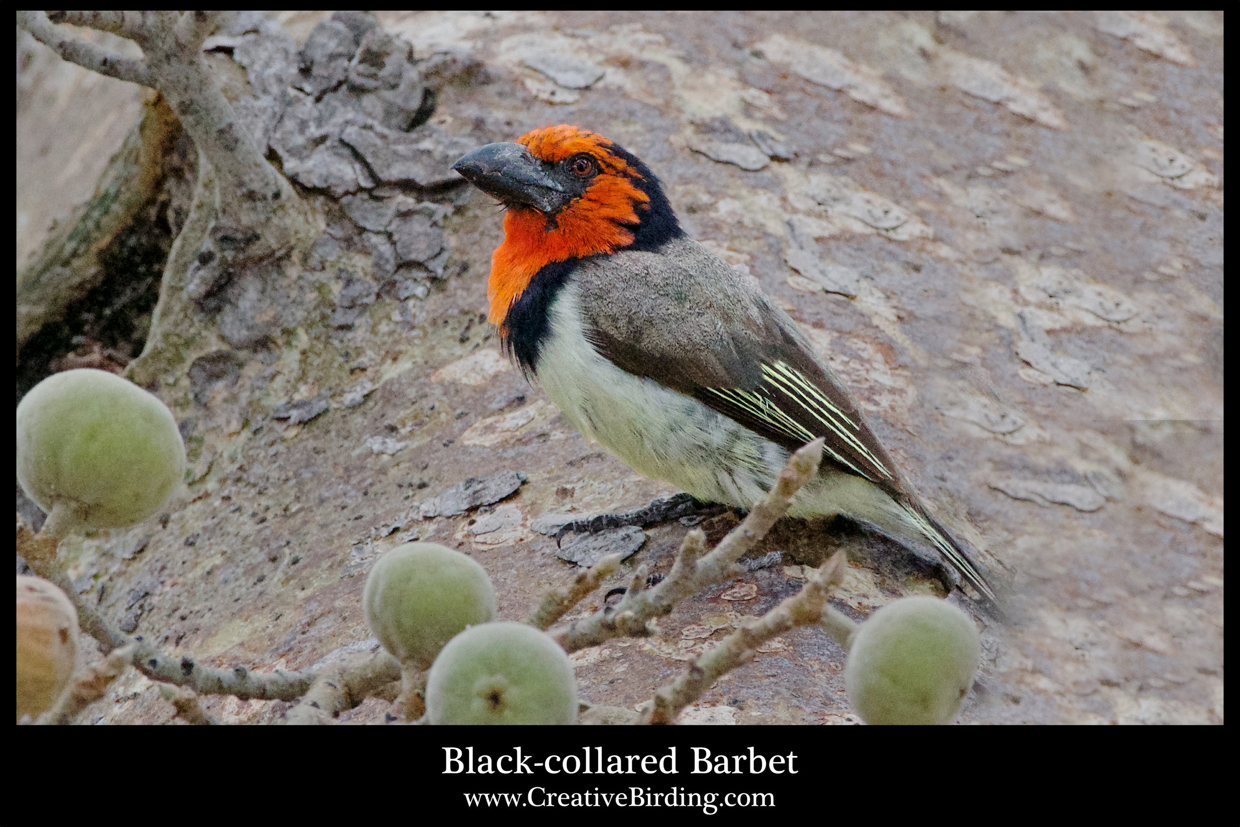 Black-collared Barbet.jpg