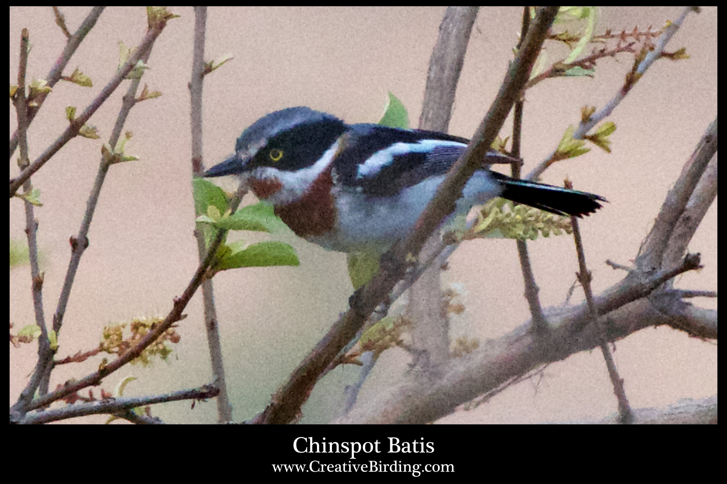 Chinspot Batis.jpg