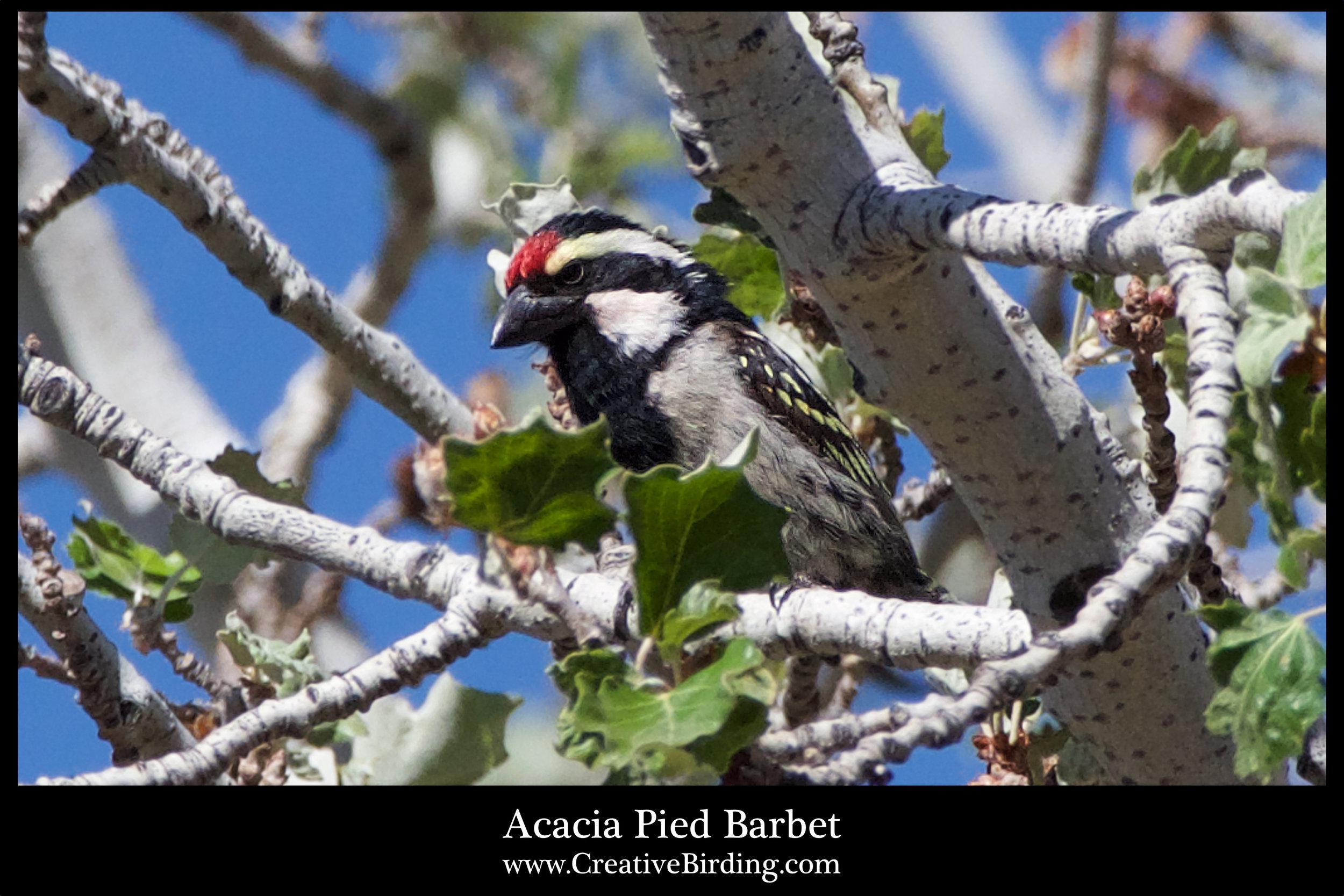 Acacia Pied Barbet.jpg