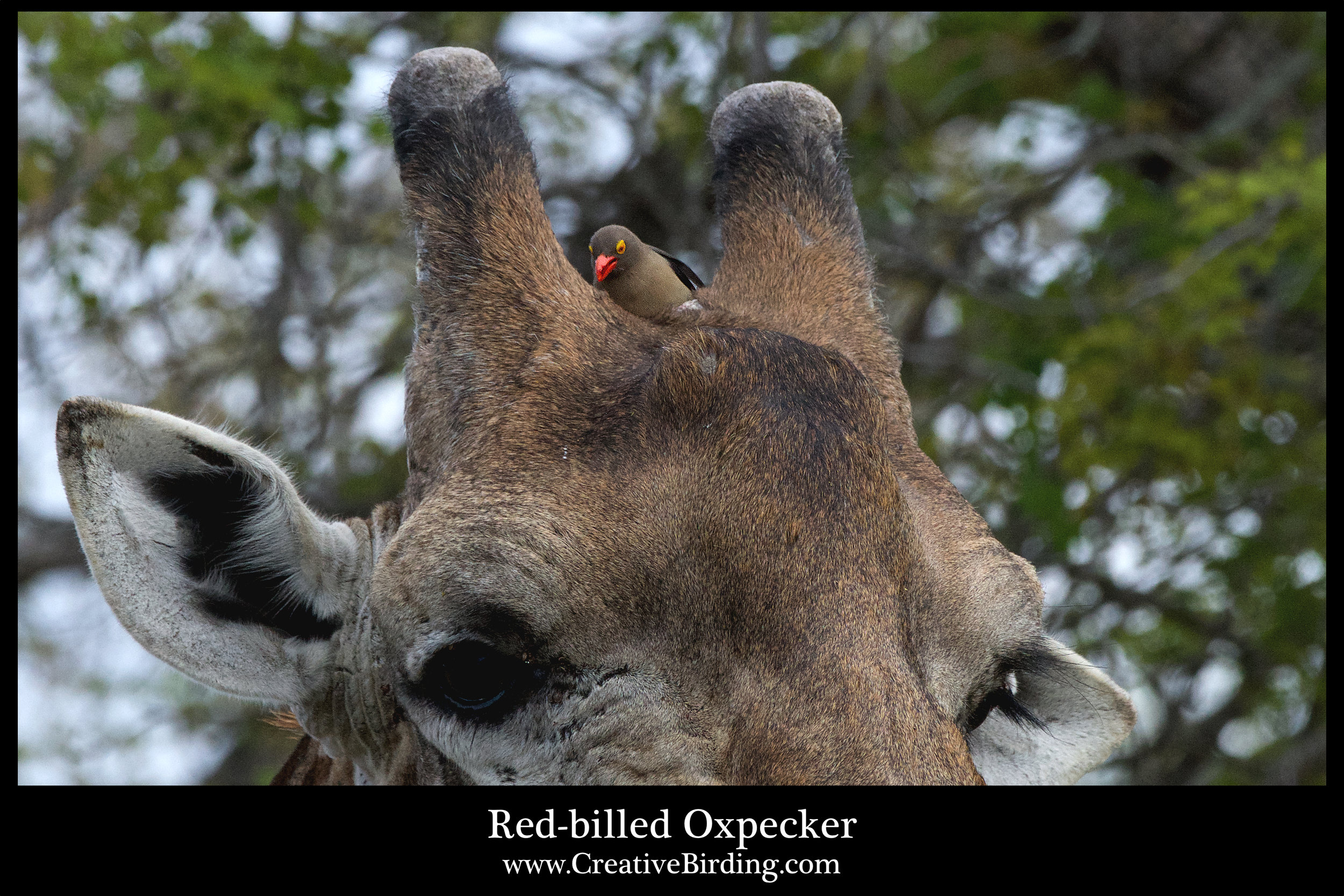 Red-billed Oxpecker2.jpg