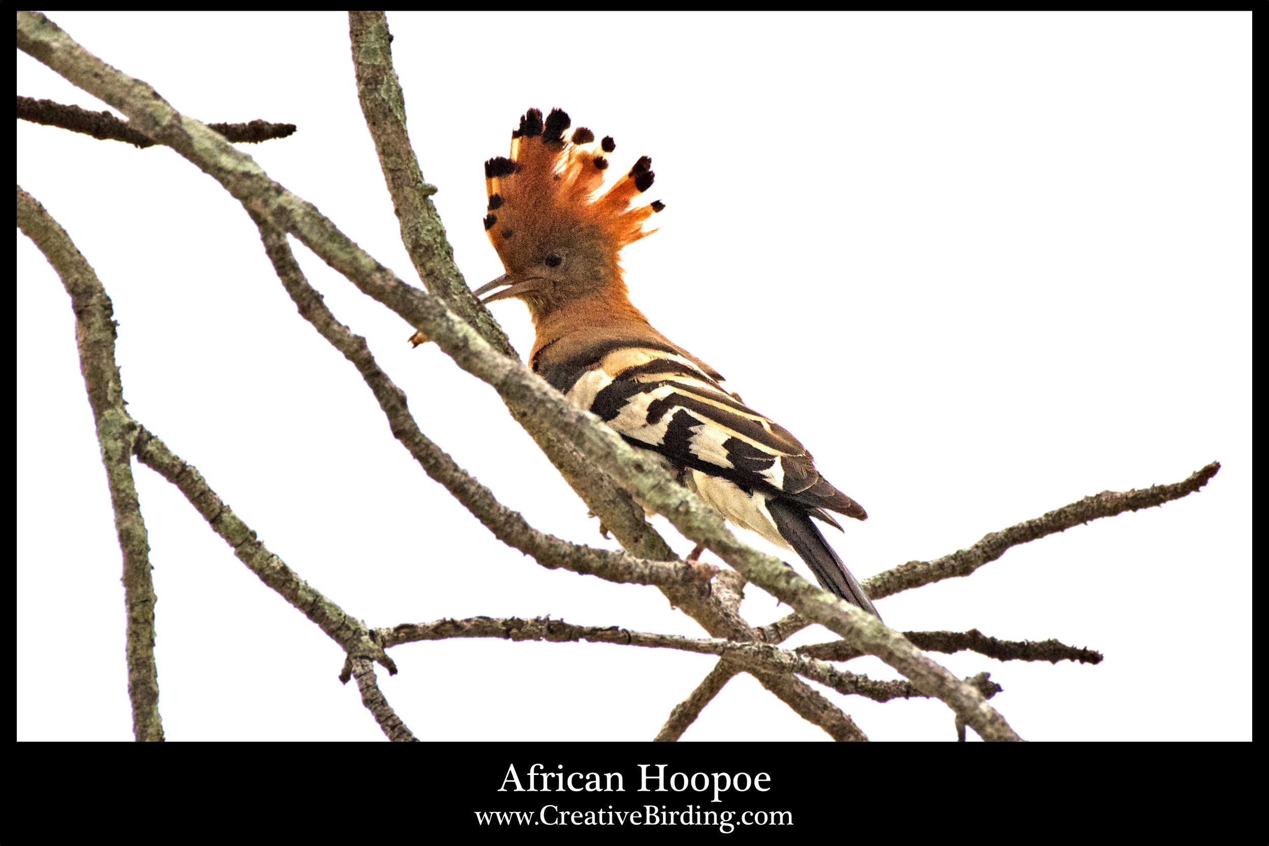 African Hoopoe2.jpg