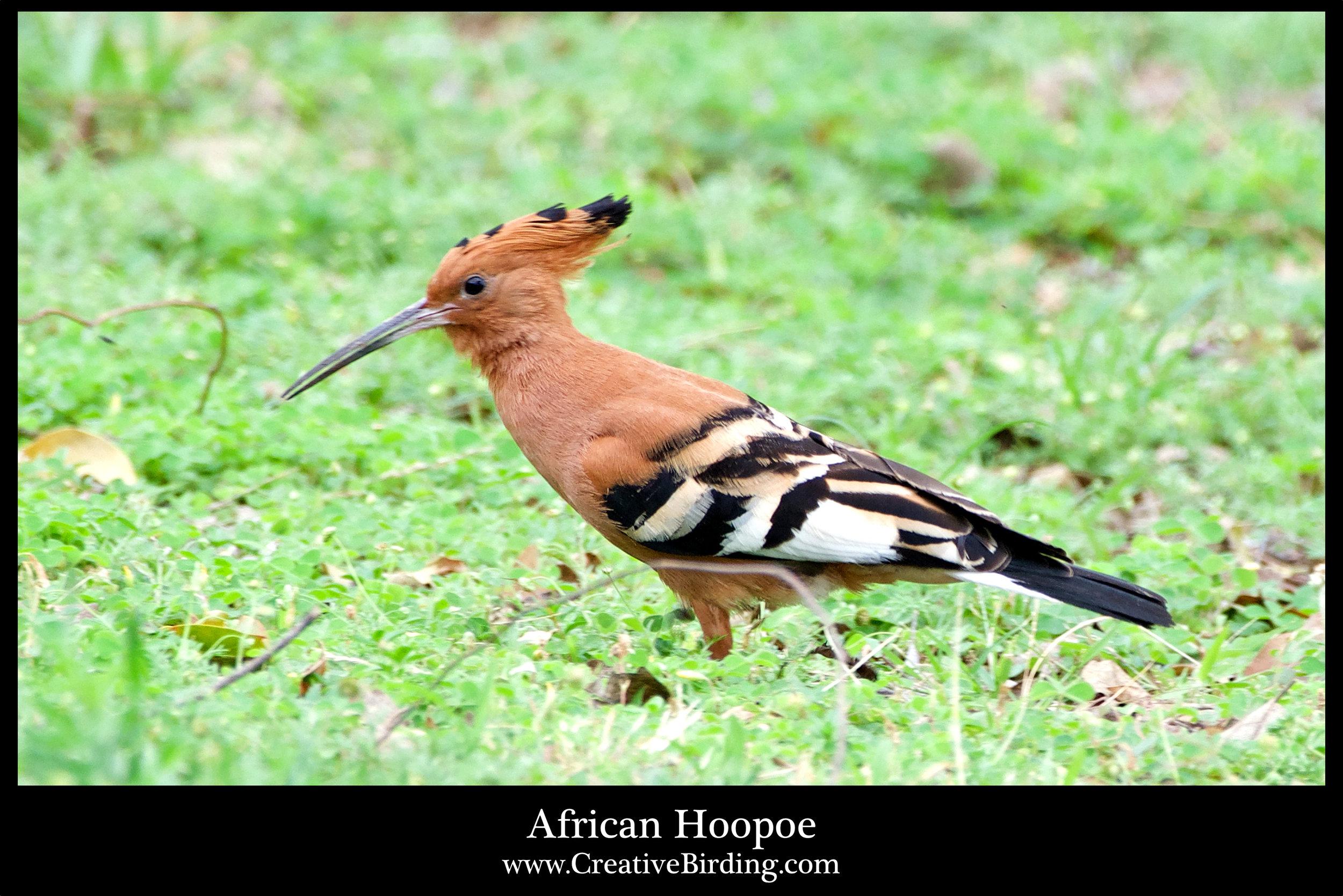African Hoopoe.jpg