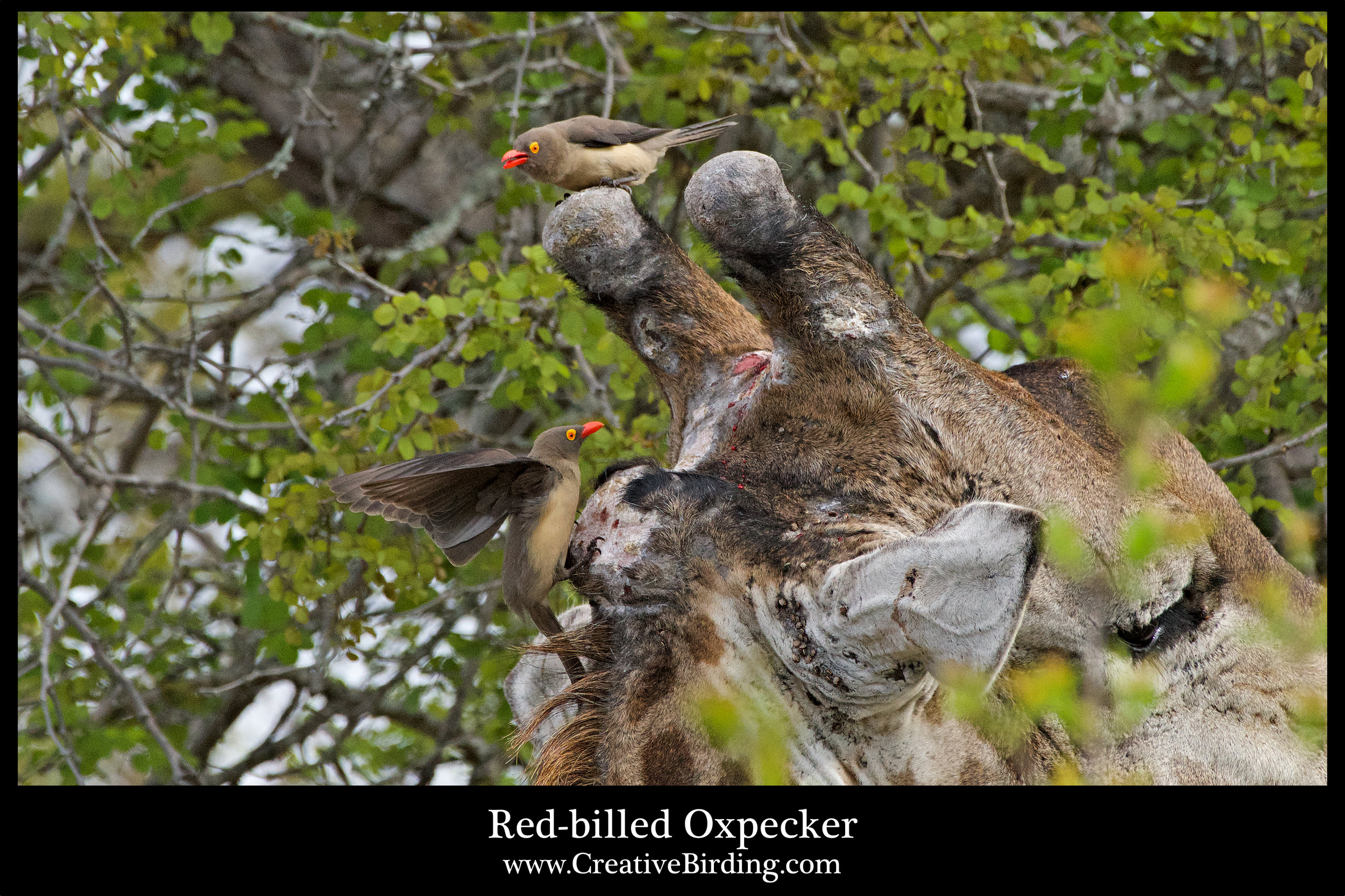 Red-billed Oxpecker.jpg