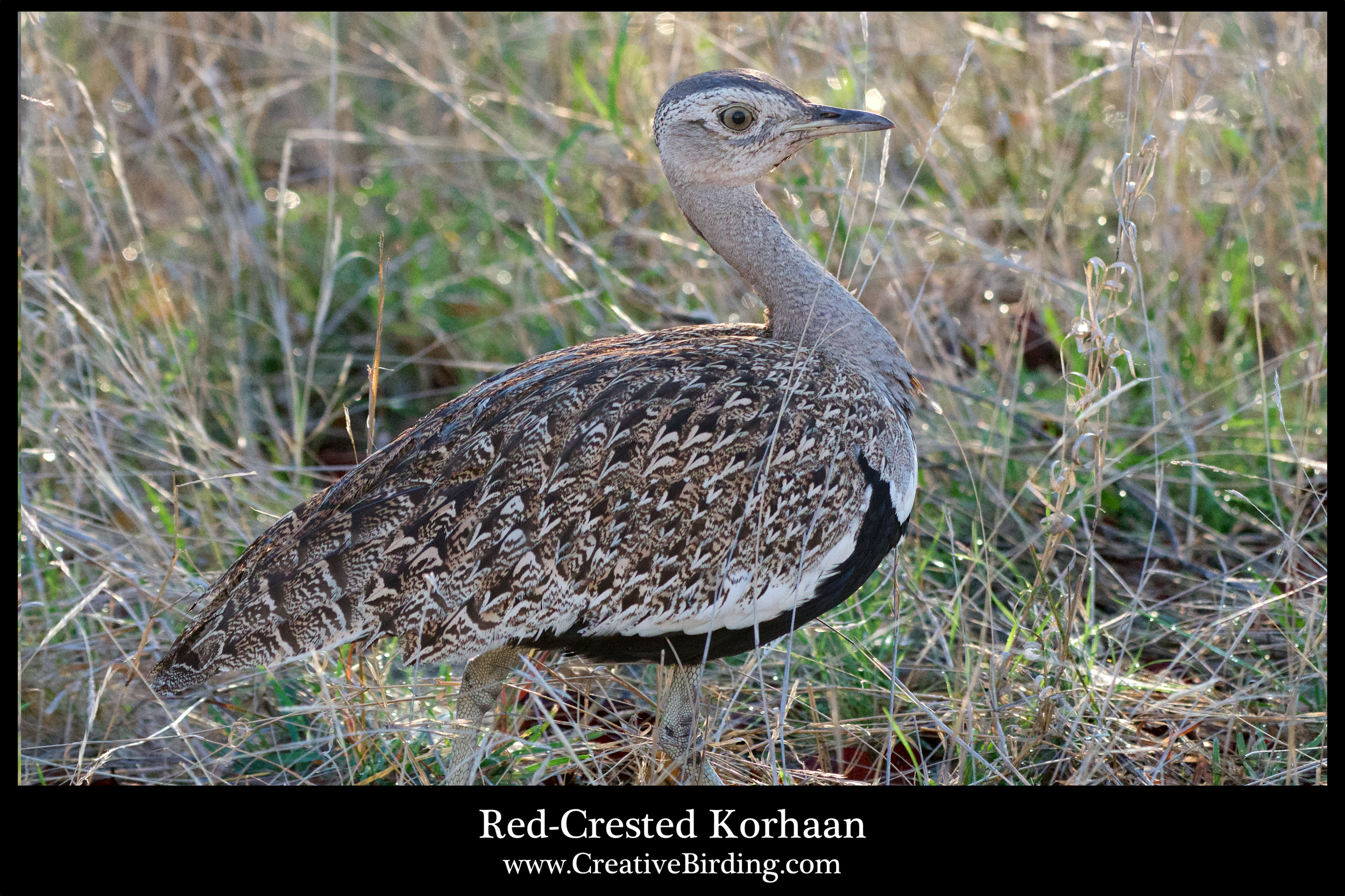 Red-Crested Korhaan.jpg