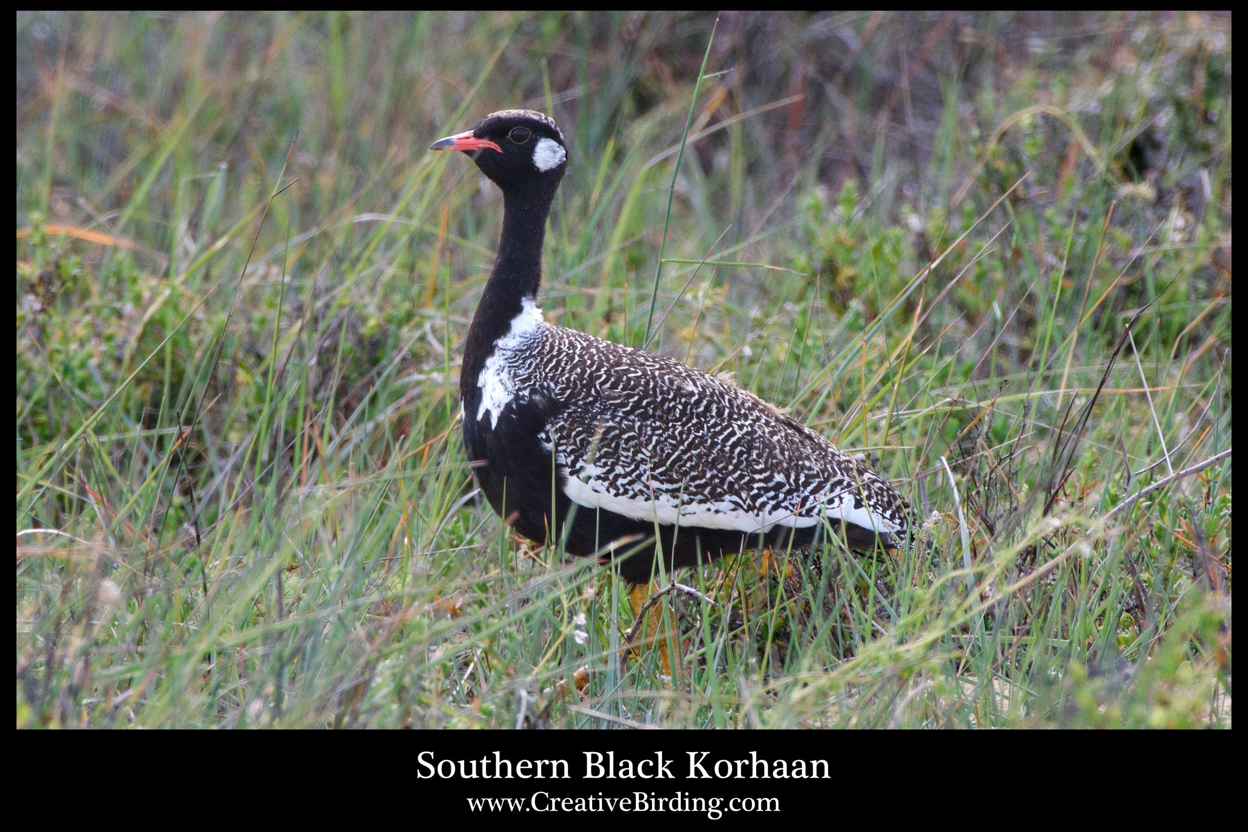 Southern Black Korhaan.jpg