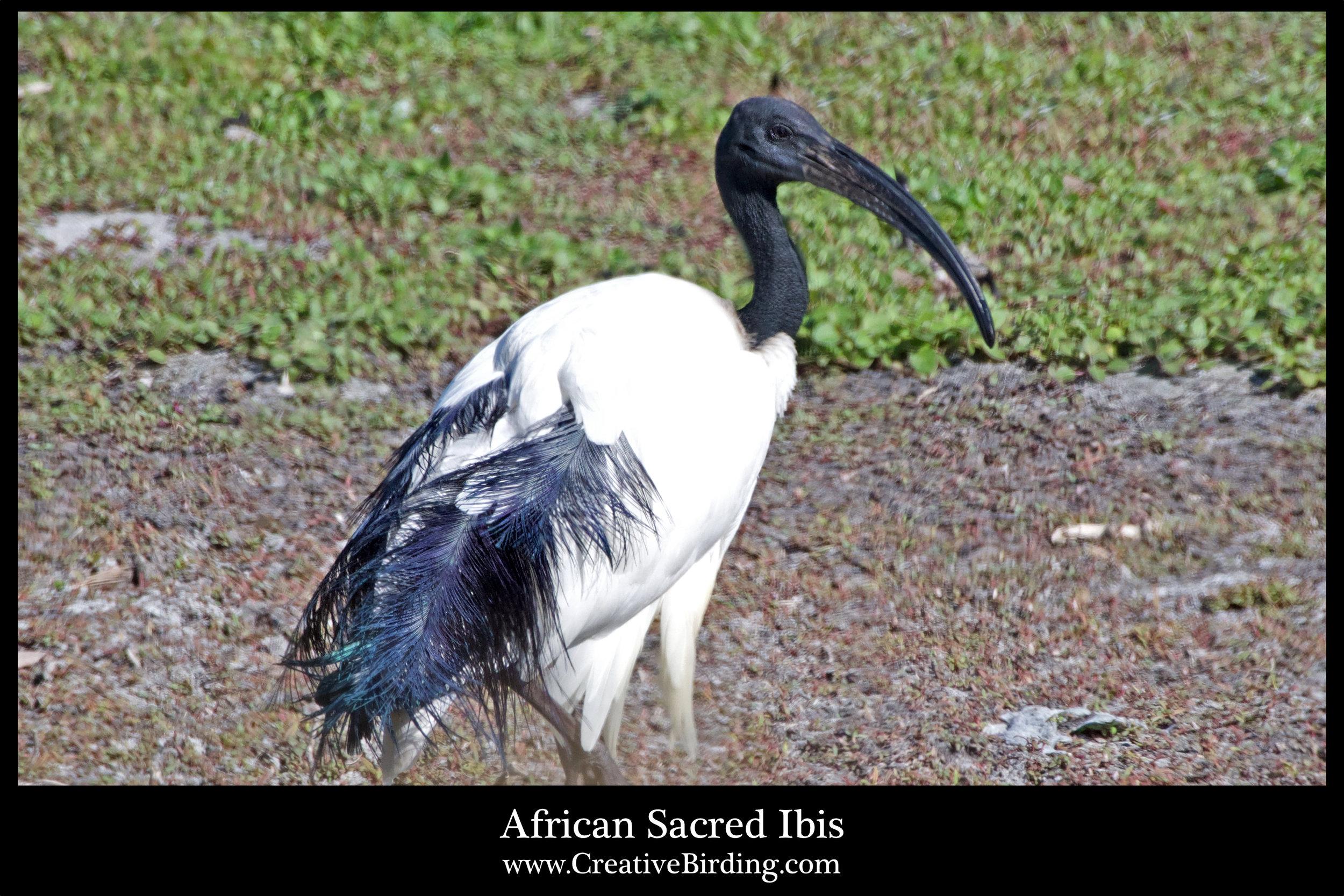 African Sacred Ibis.jpg