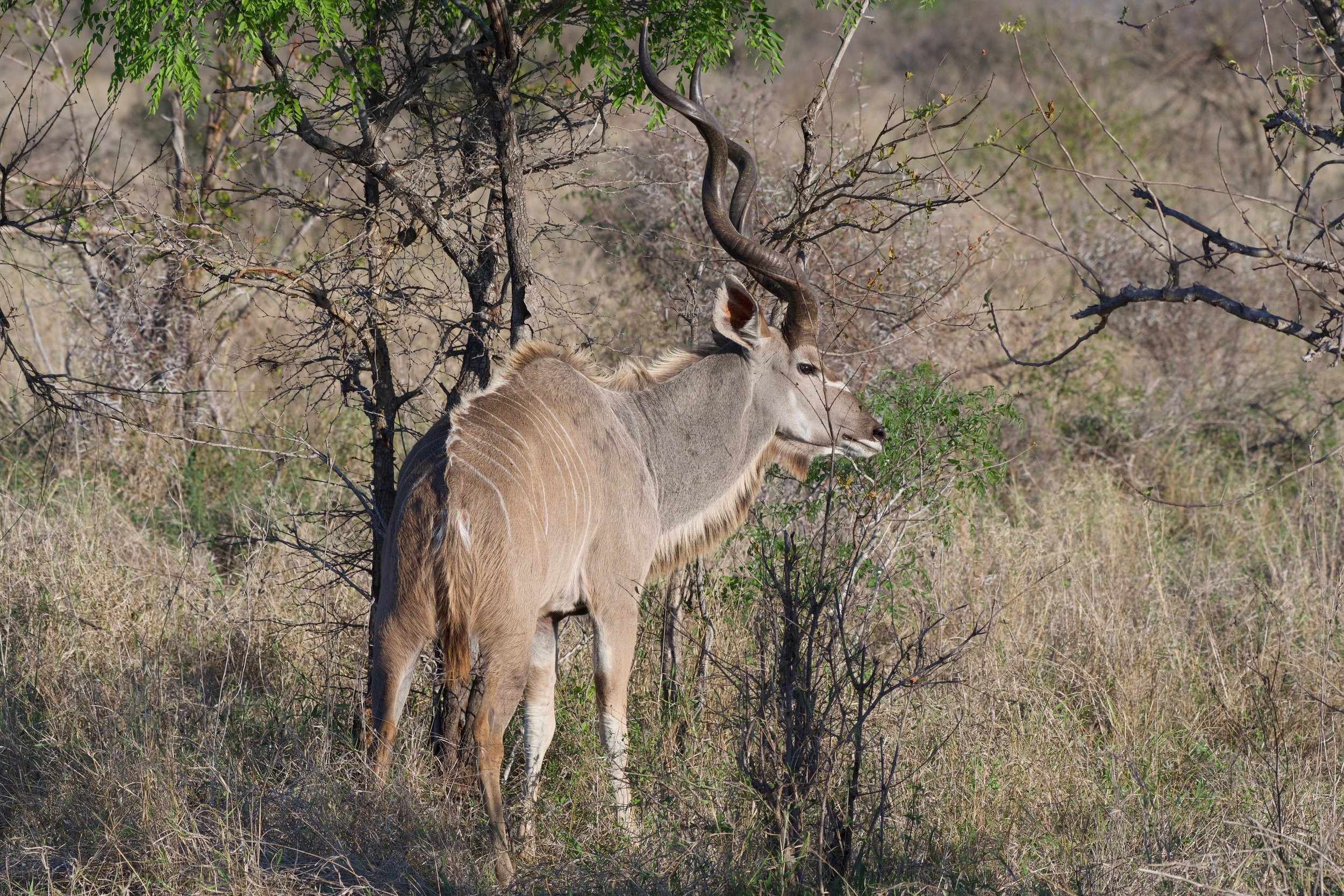 Greater Kudu.jpg