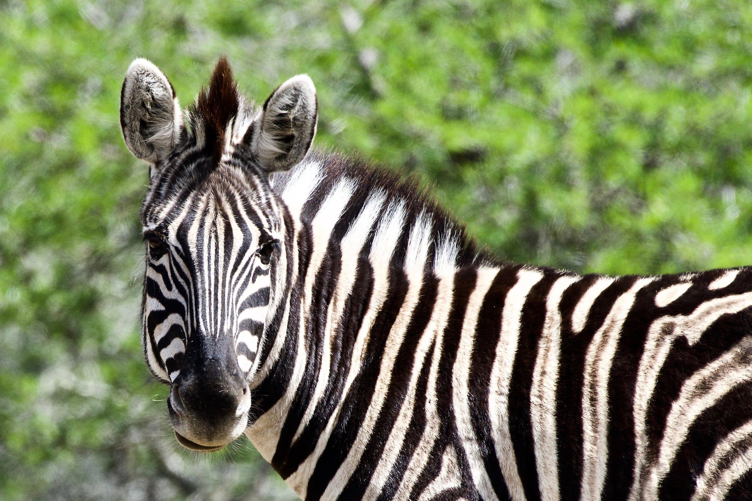 Burchell's Zebra (1).jpg