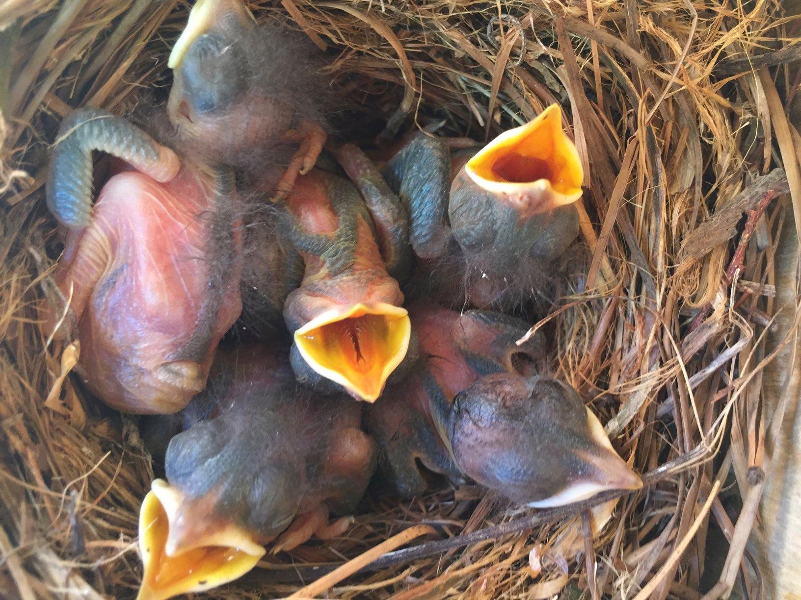 Eastern Bluebird -Chicks- 1 week old.jpg