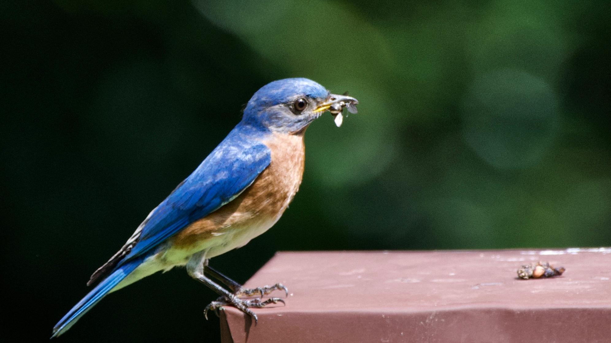 Eastern Bluebird (2).jpg