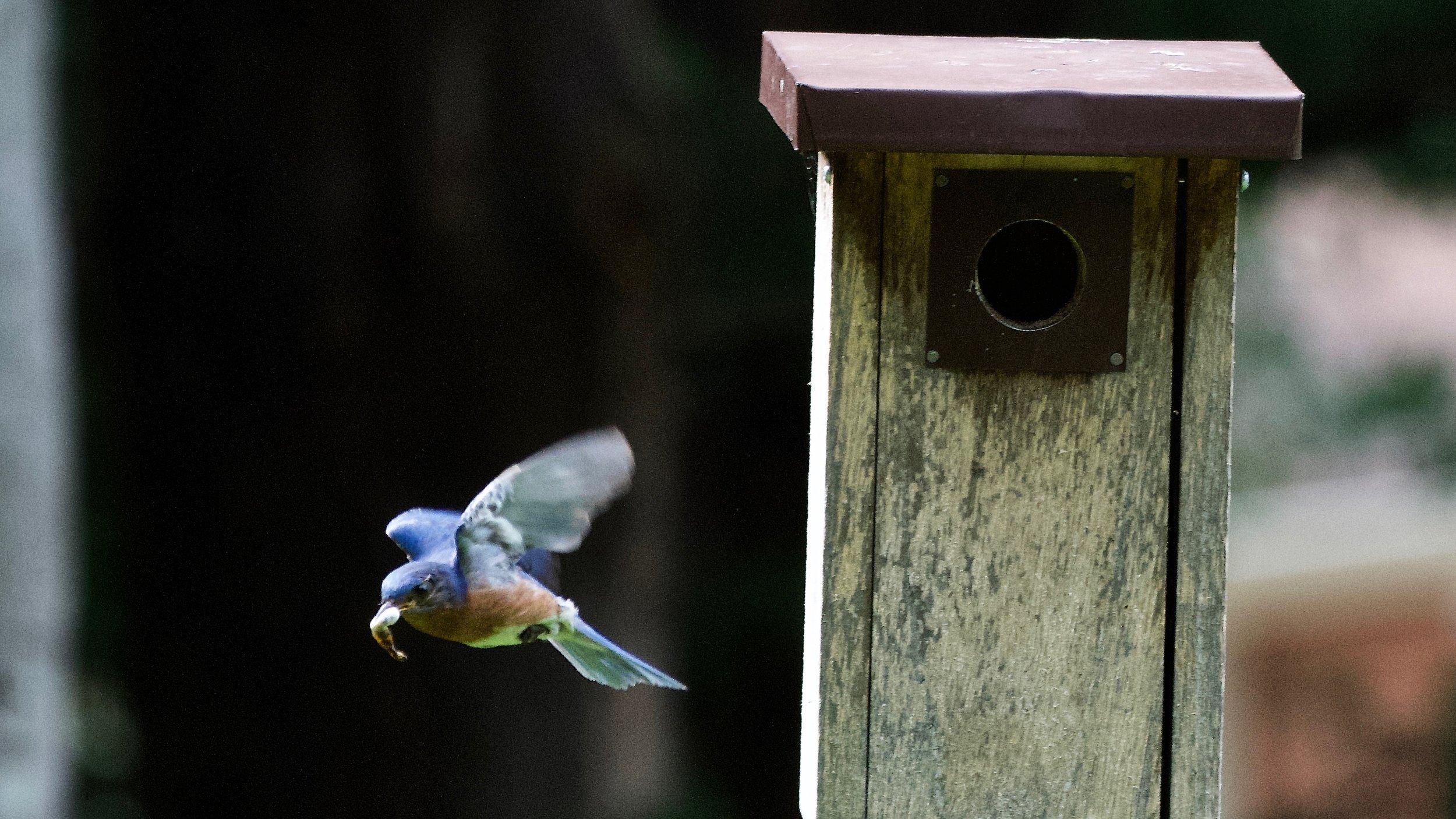 Eastern Bluebird-cleaning nest (1).jpg