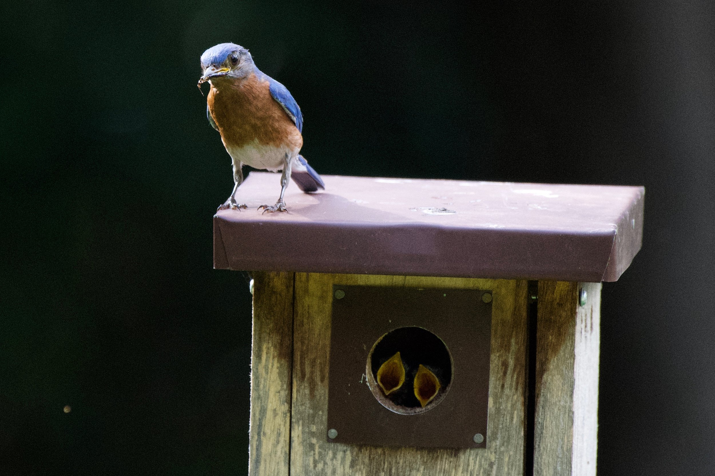 Eastern Bluebird-feeding chicks (1).jpg