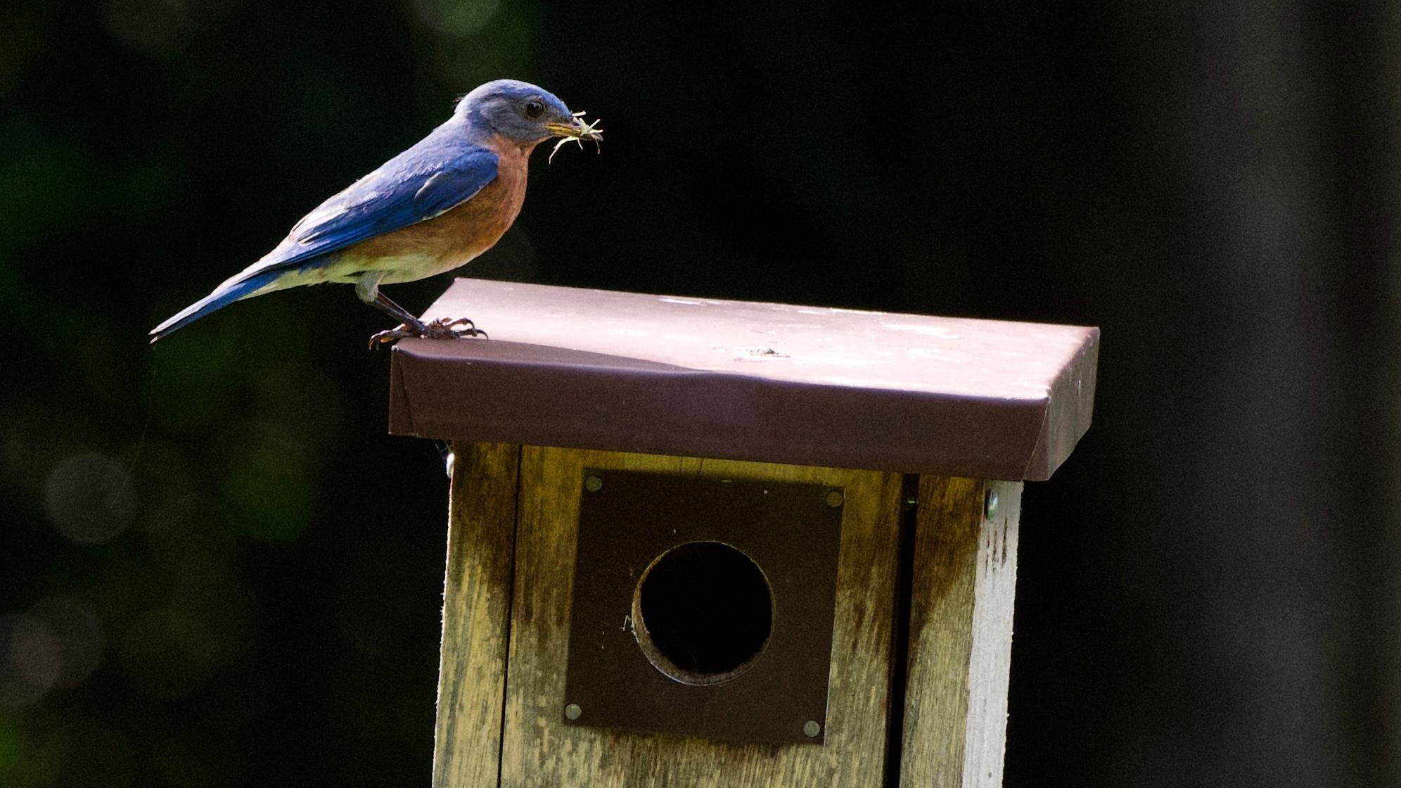 Eastern Bluebird-feeding chicks.jpg