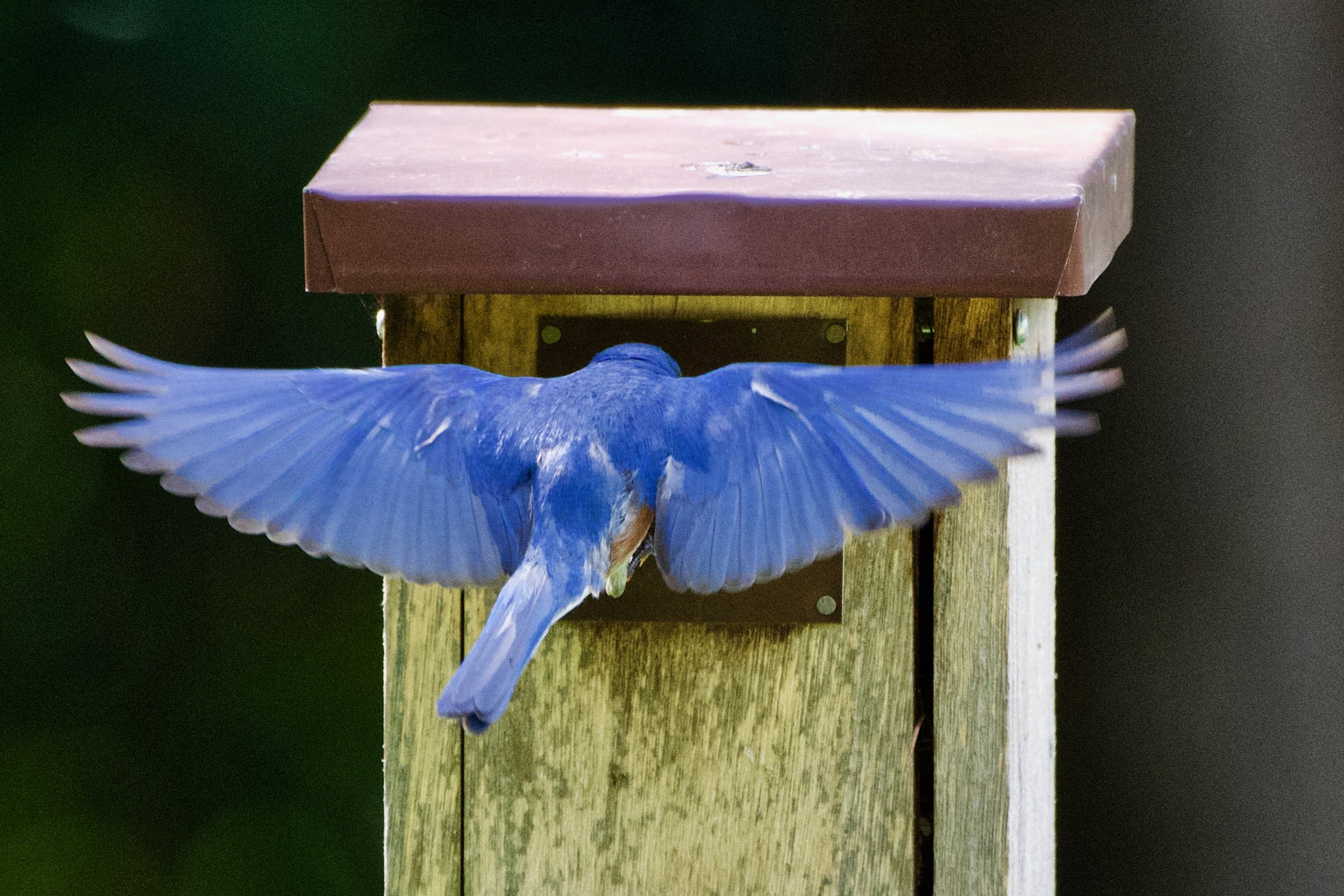 Eastern Bluebird-feeding chicks (2).jpg