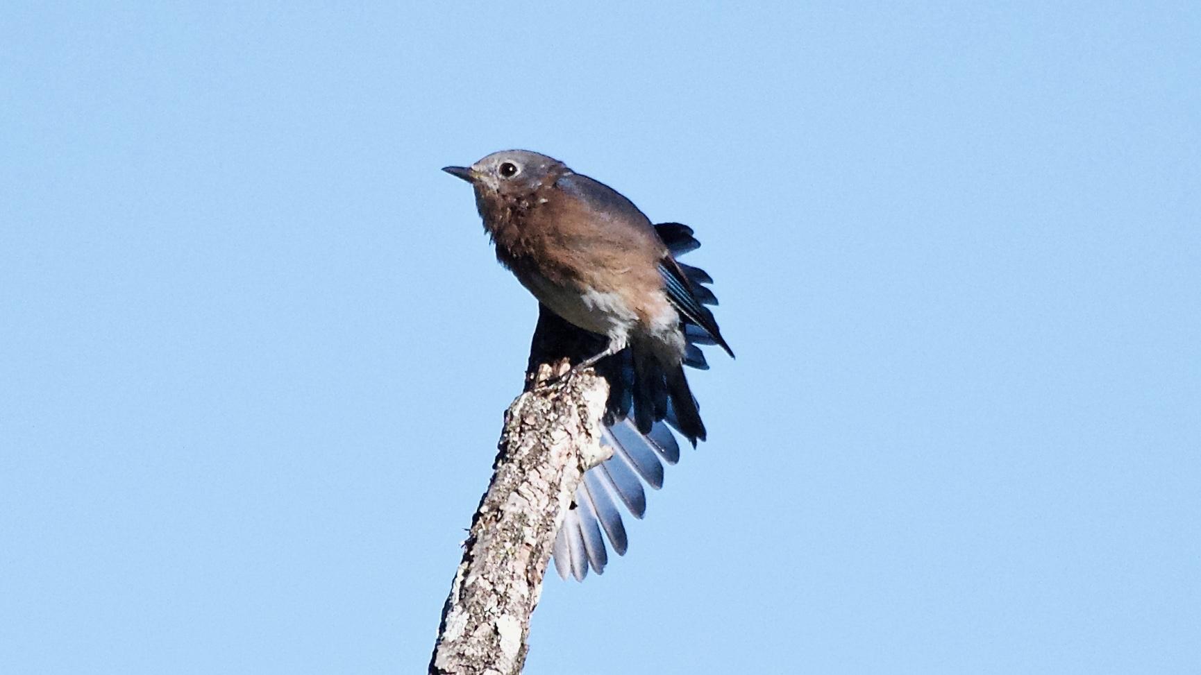 Eastern Bluebird-male-sunning.jpg
