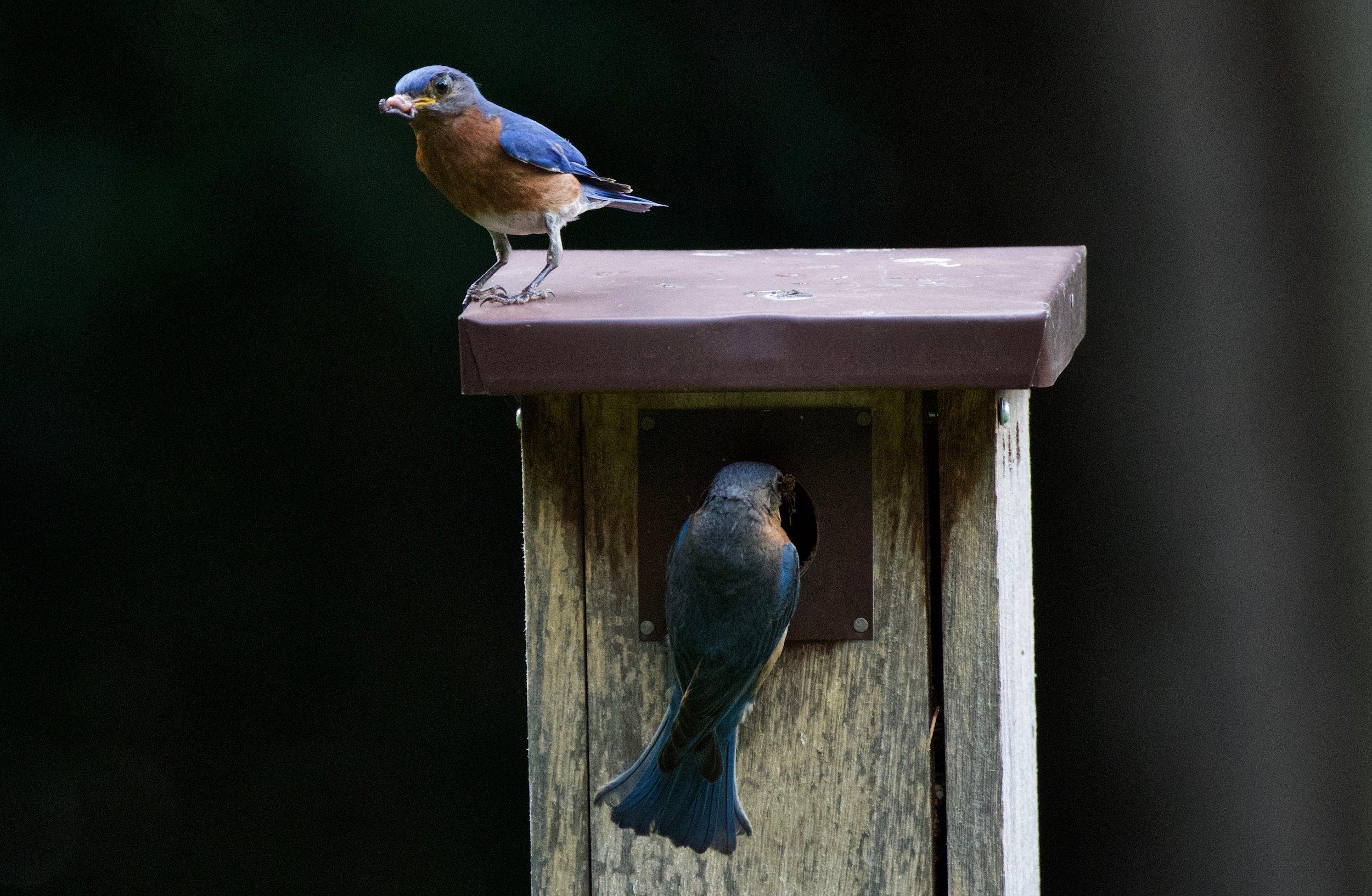 Eastern Bluebird-male and female-feeding chicks.jpg