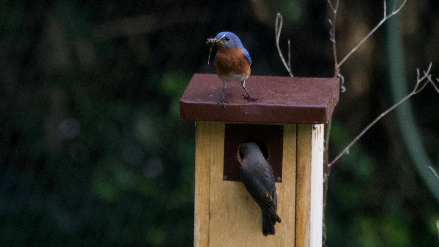 Eastern Bluebird-nest building.jpg