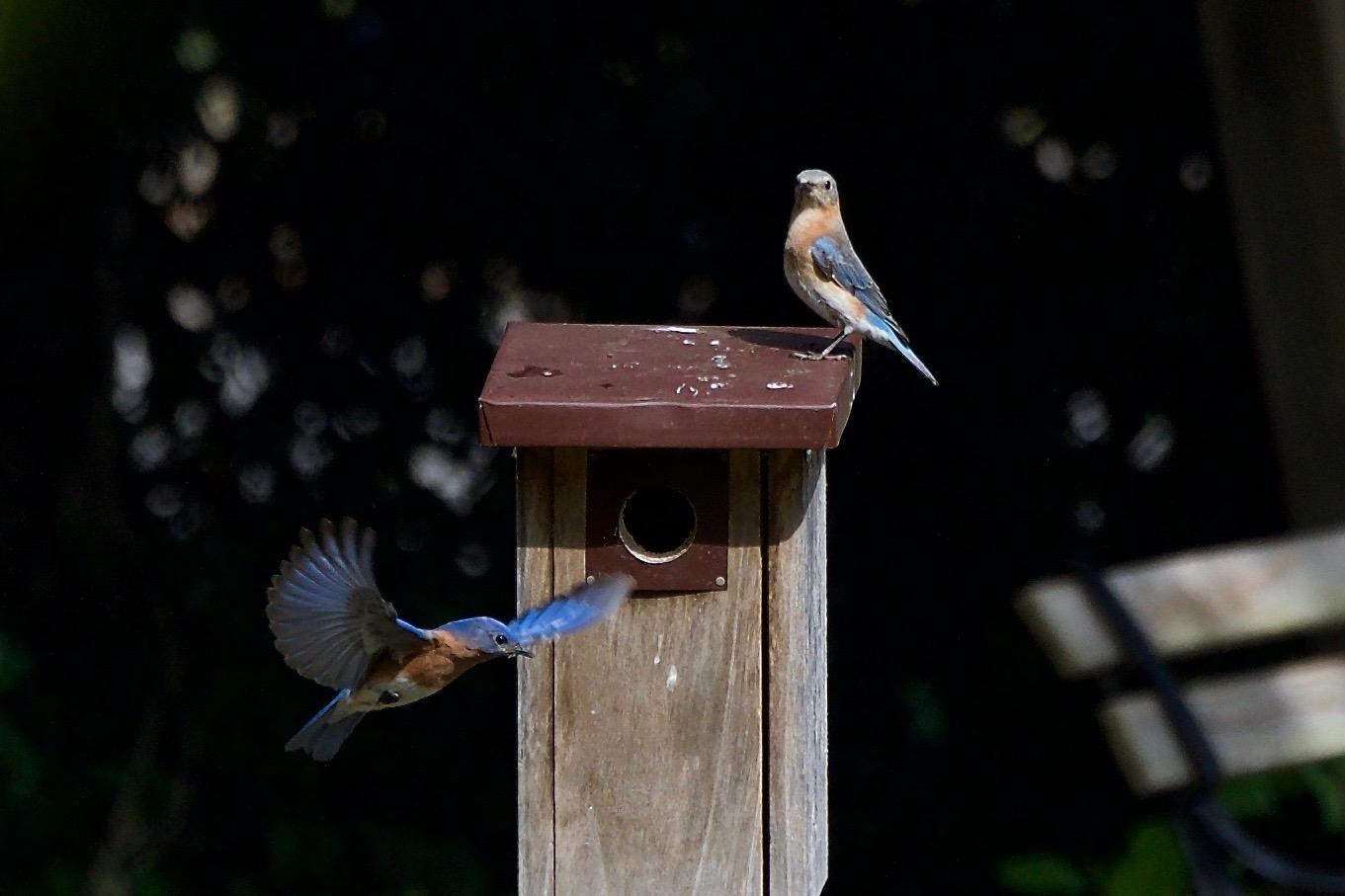 Eastern Bluebirds-nest selection.jpg