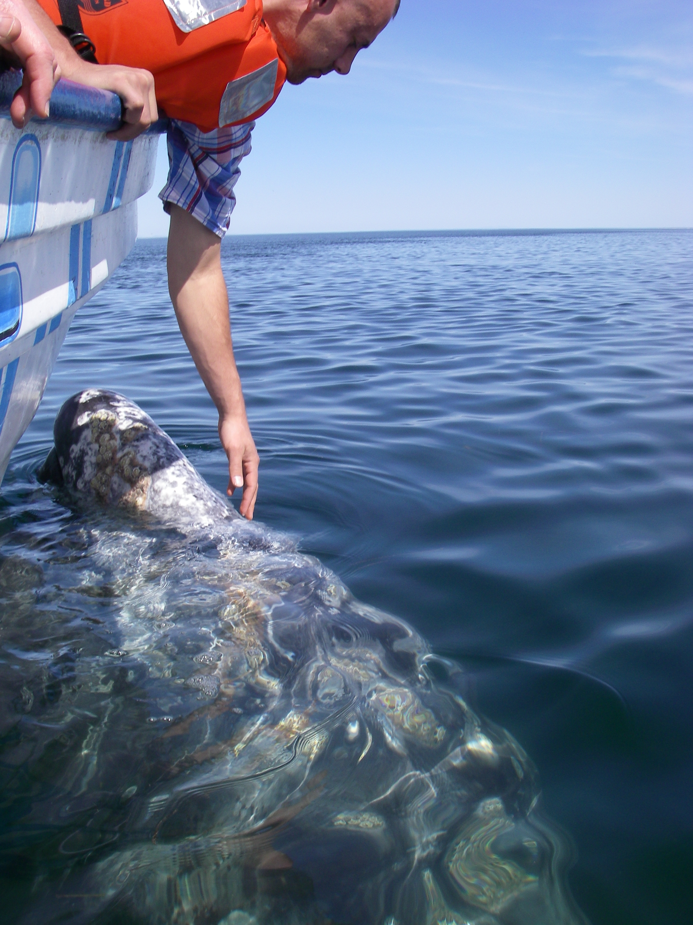 Experiencing a friendly greeting from below.  Interactions with a Gray Whale. Laguna Ojo de Liebre, Guerrero Negro.