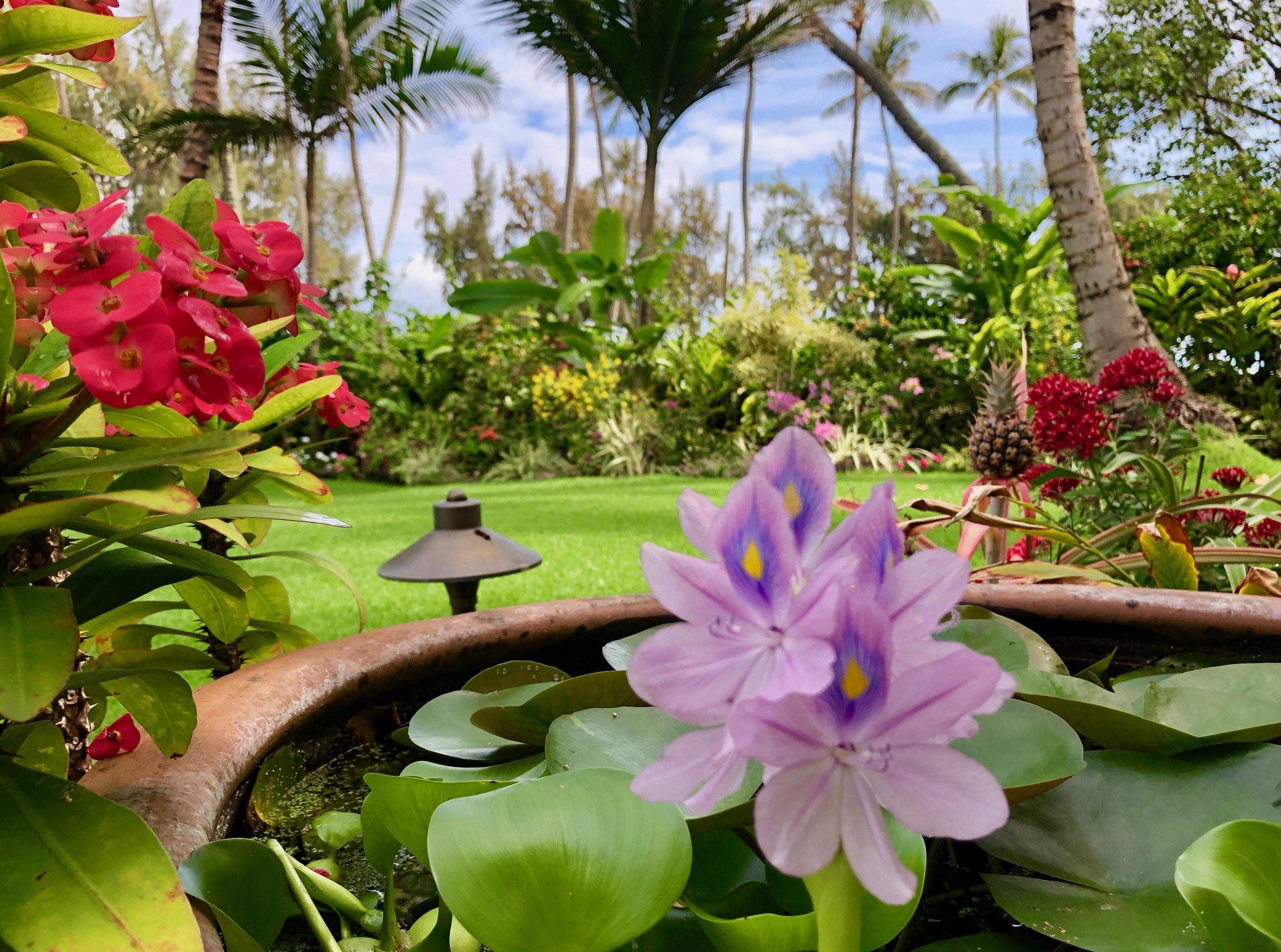 Water Hyacinthus.jpeg