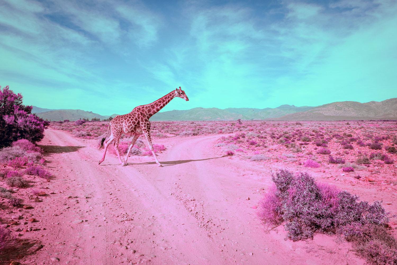 JoelMMiller_Pink_Safari_III.jpg