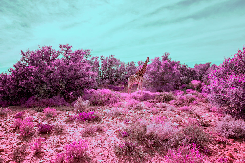 JoelMMiller_Pink_Safari_I.jpg