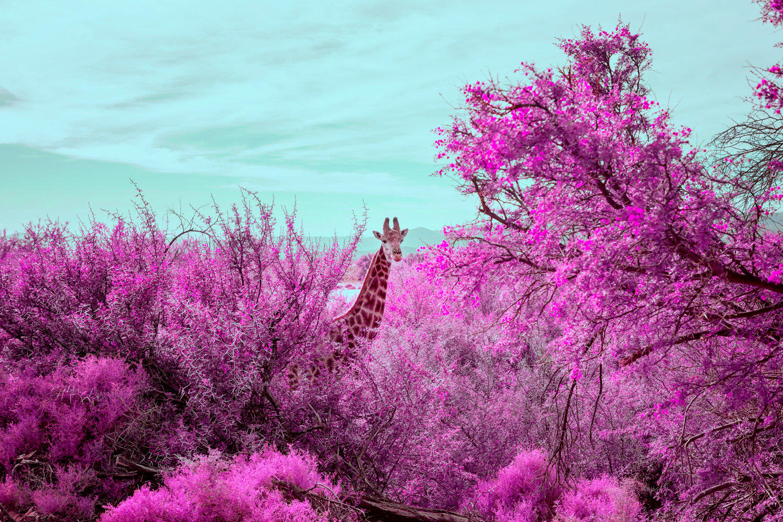 JoelMMiller_Pink_Safari_II.jpg