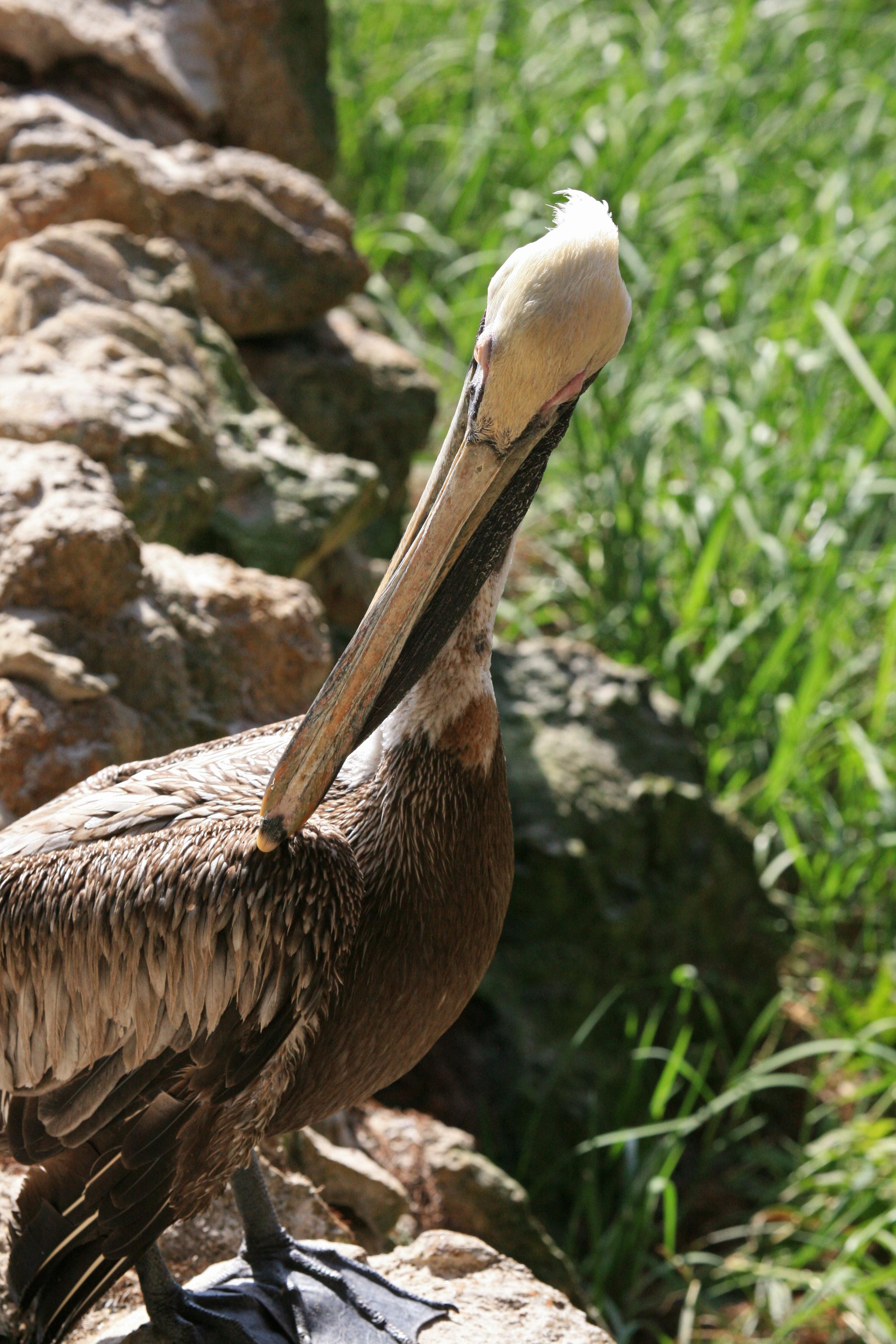 Nature Pelican1.jpg