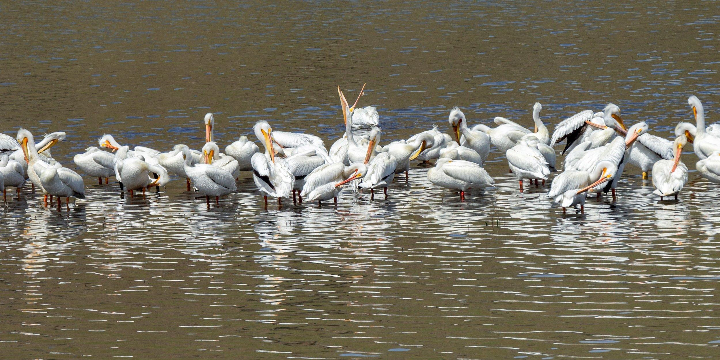 Pelicans in the Clearwater  by Debi Carpadus