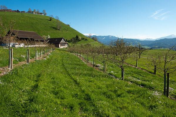Young cherry trees on the Swiss mountainside.