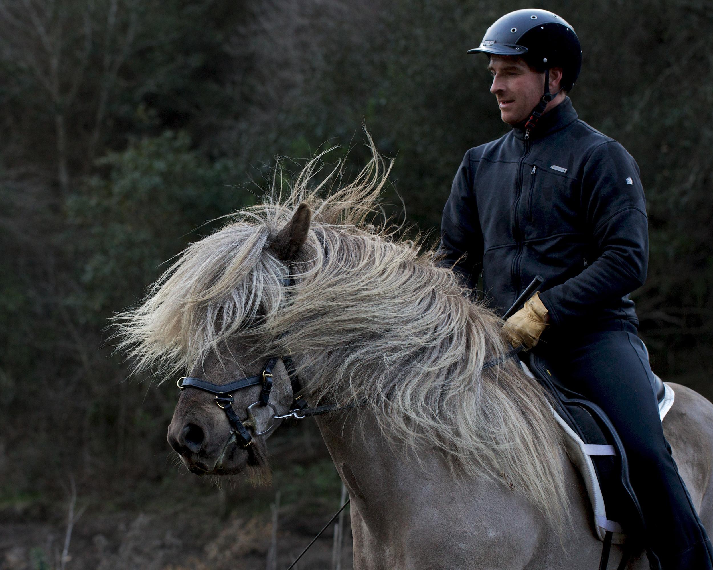 The Stallion  Elfaxi   Steinar's boy