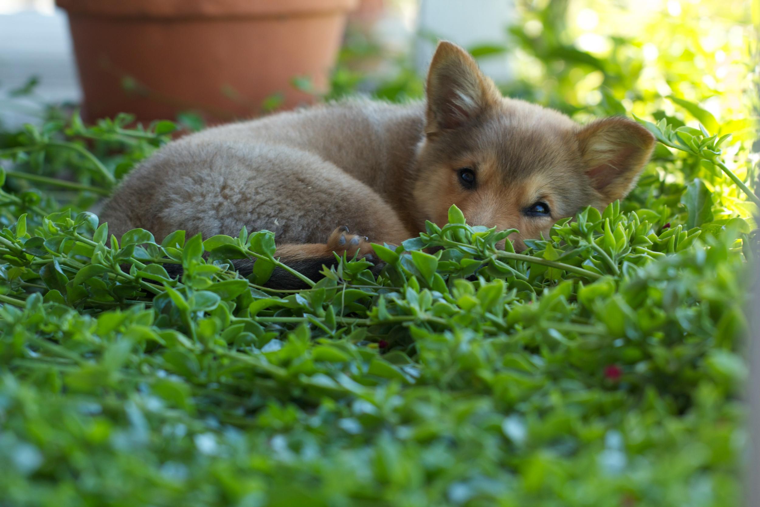 Boi , our Icelandic dog, at 12 weeks