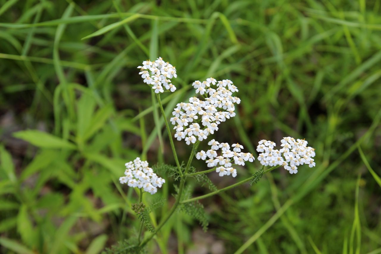 Yarrow: a medicinal herb.  Aurora Mountain Farms makes a Yarrow jelly!