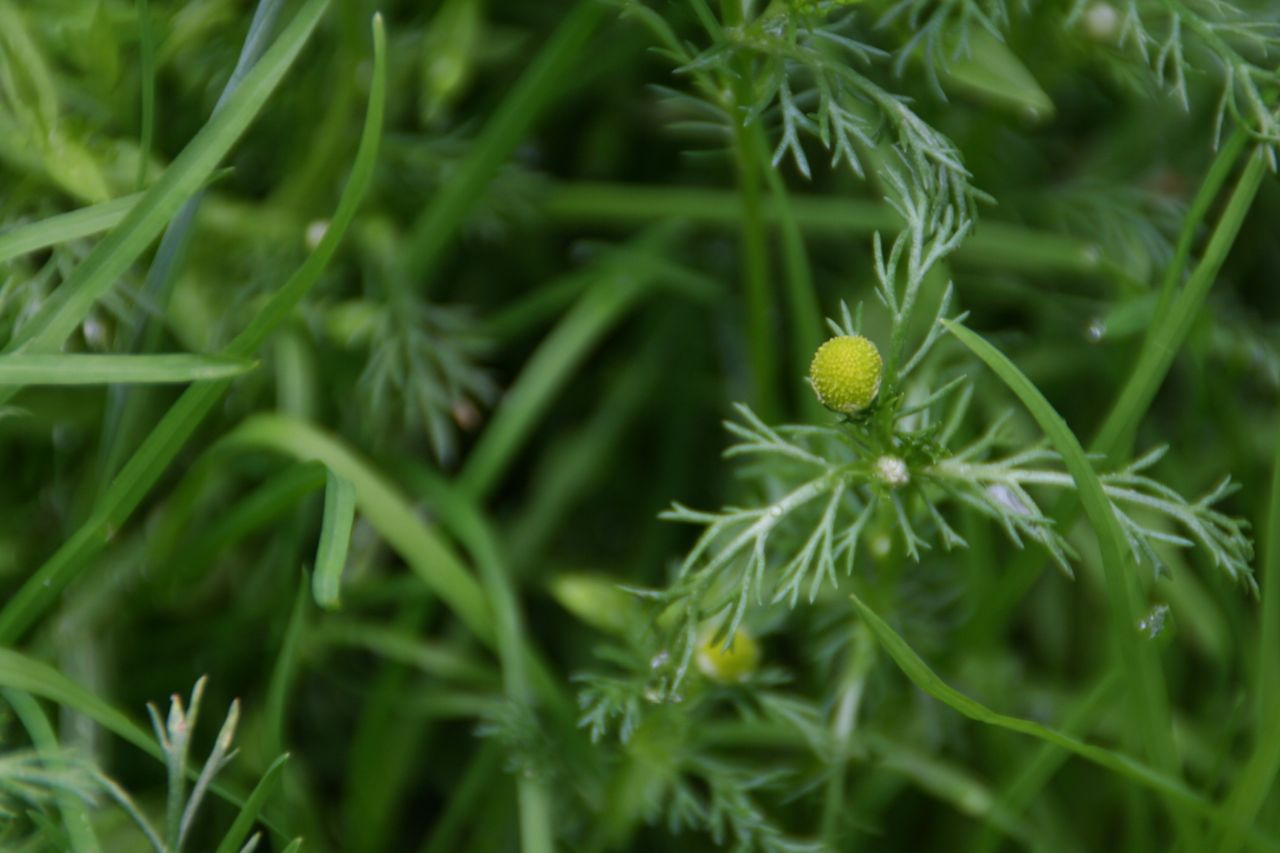 Pineapple weed: actually tastes like pineapple!  would be great in salads or sauteed with other greens.