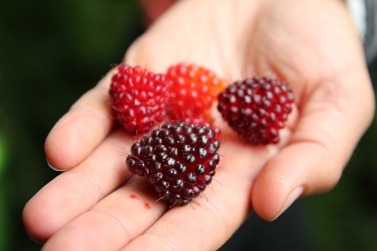 BERRIES! WILD AND DOMESTICATED
