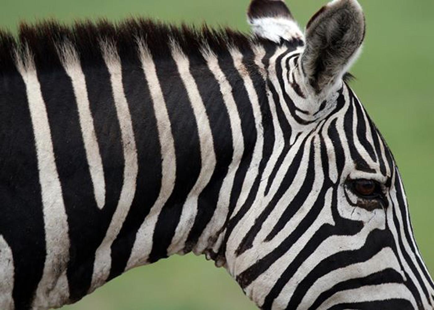 zebra_1234.jpg