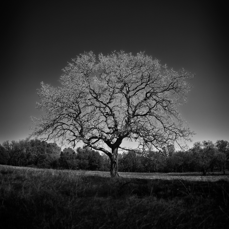 Oak_Tree_Olmstead_Trail.jpg