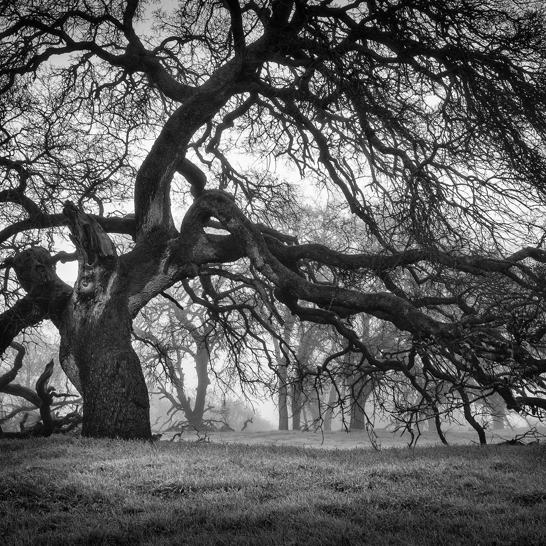 Oak Woodland, Study 4