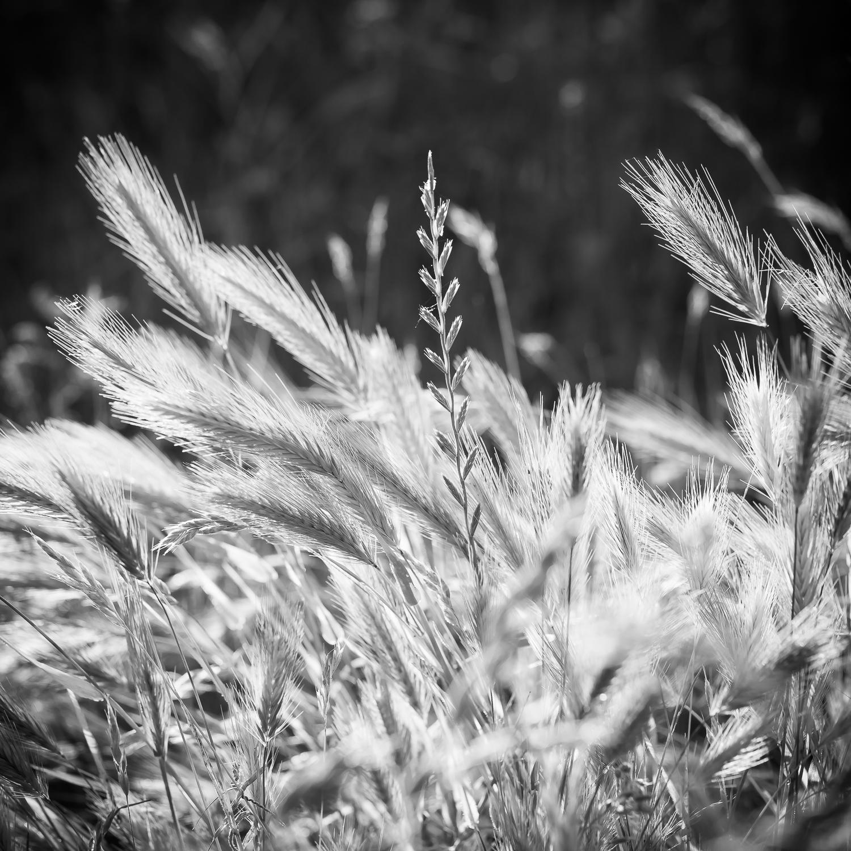 Morning Light in Field, Study 2