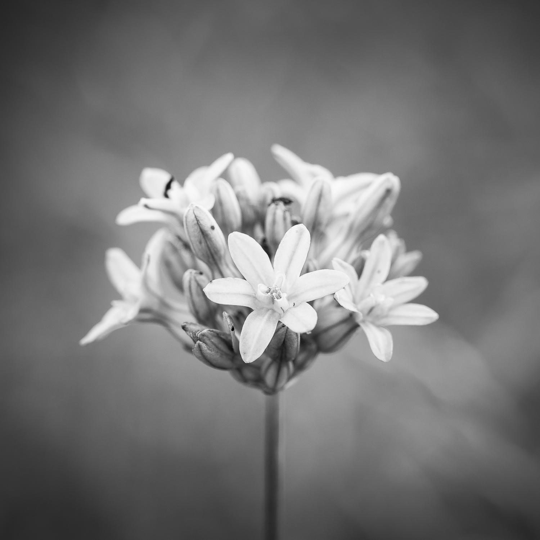 Wildflower, Study 1