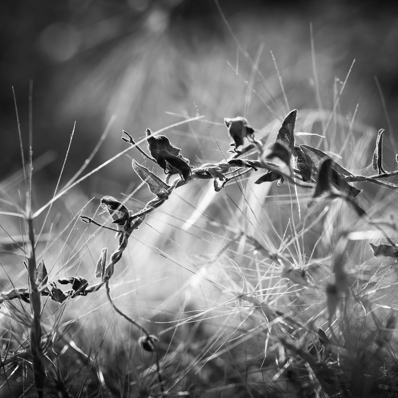 Wild Grasses and Vine