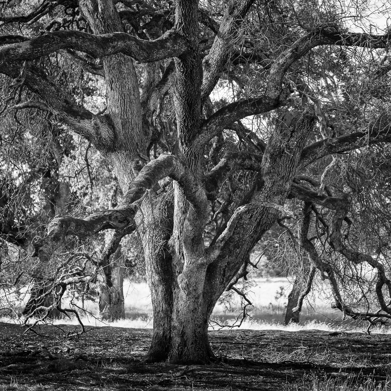 Charred Westside Oak (Summer 2014)